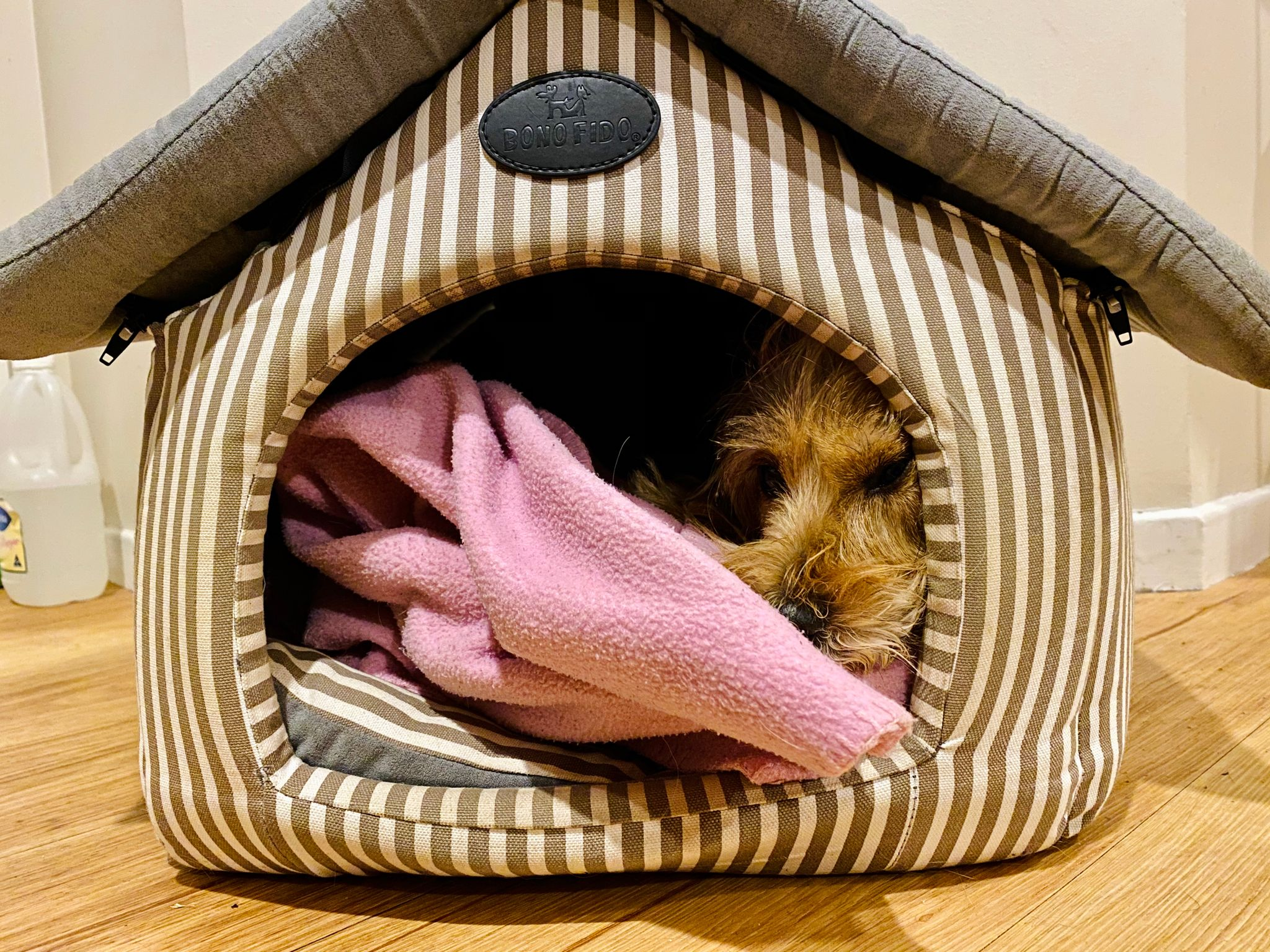 "A photo of a small scruffy blonde dog lying inside a ""house"" made of soft material. His face is at the entrance and one eye is jammed up against the side, pulling it back."