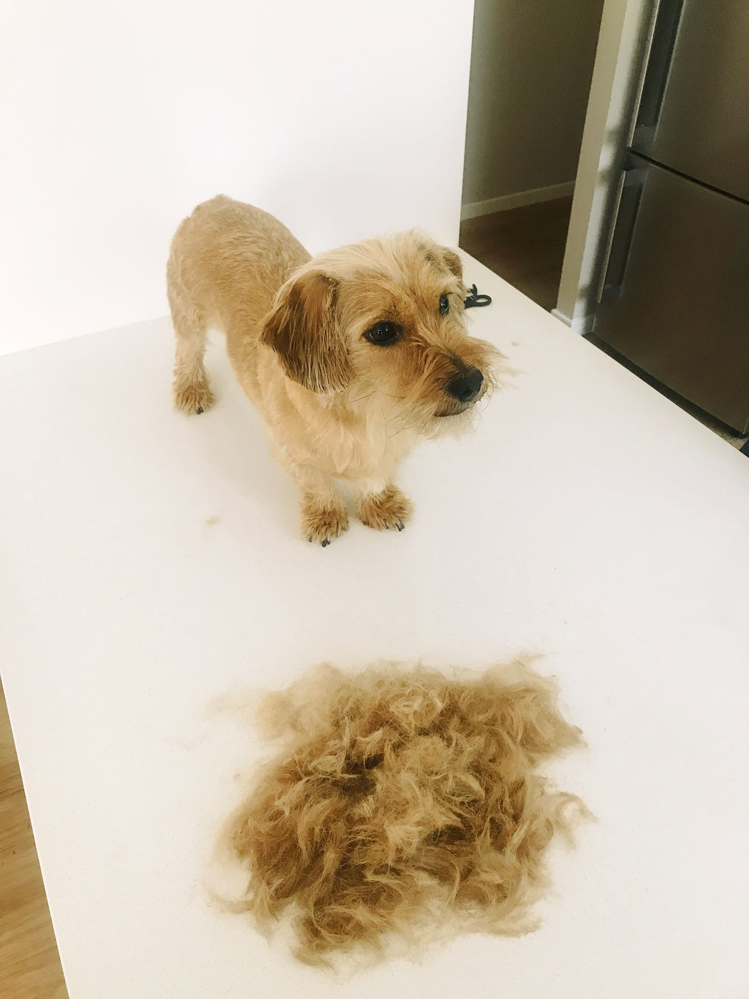 Beanie standing freshly shaved in front of a large pile of hair.