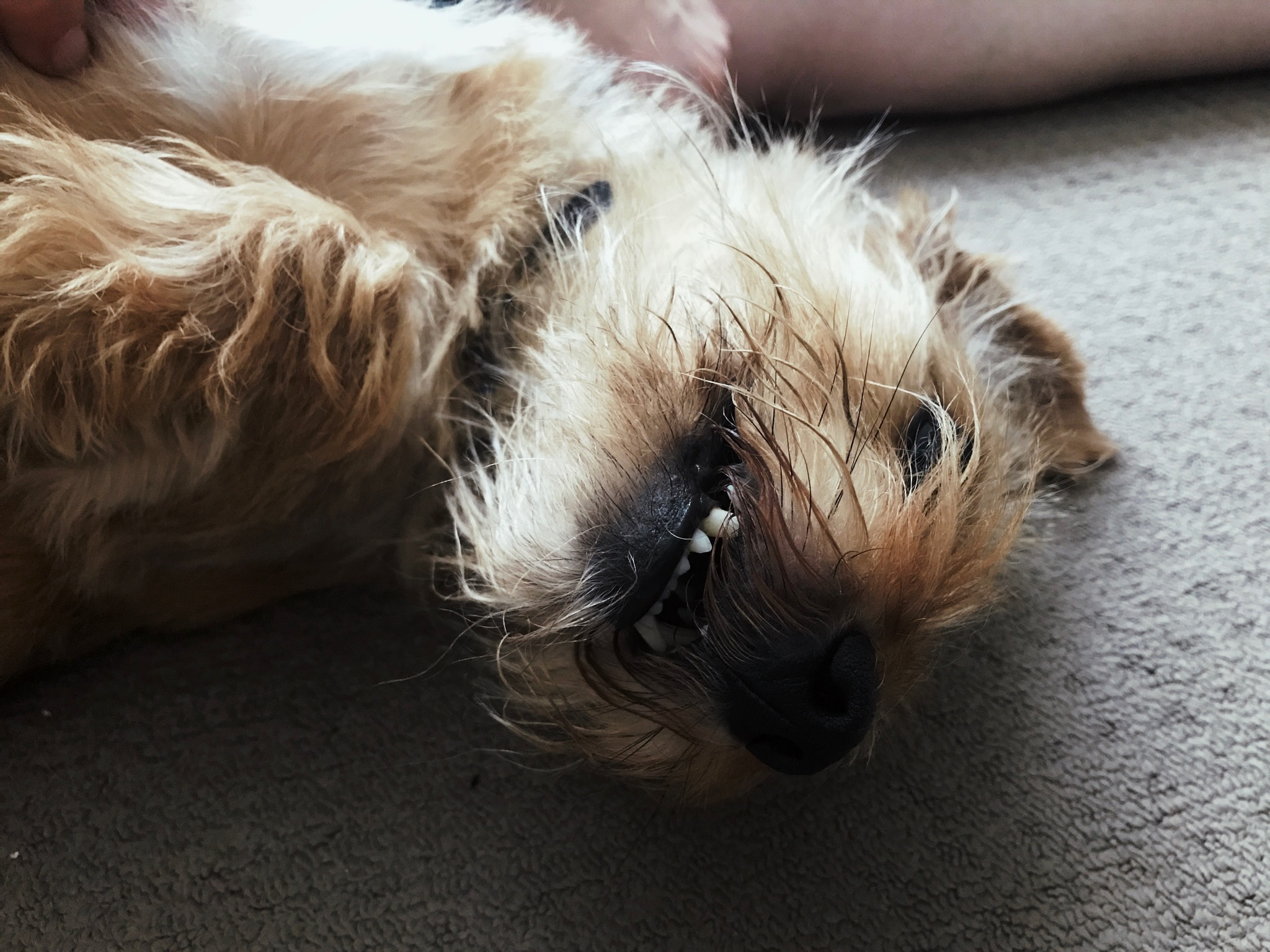 A close-up of our dog Beanie lying upside-down, looking over at the camera with his bottom teeth showing and he looks very derpy.