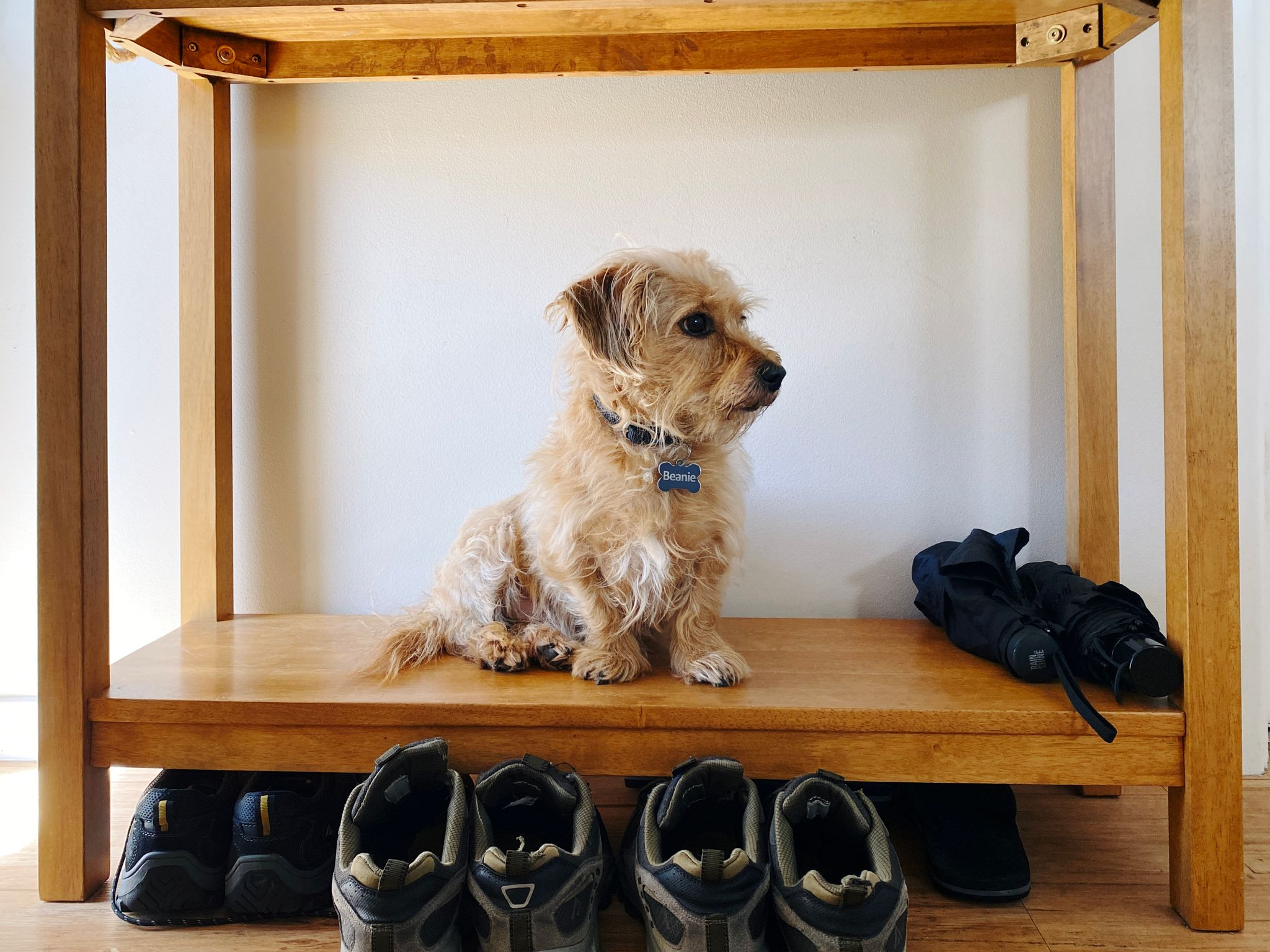 A photo of a small scruffy blonde dog sitting on the low bottom shelf of a narrow wooden side that's against a wall.