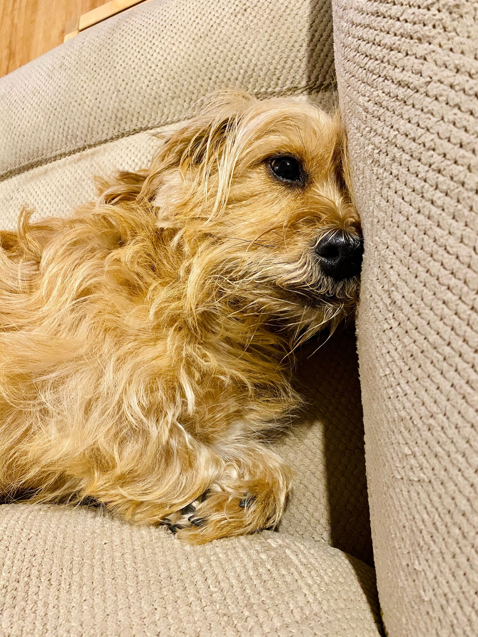A small scruffy blonde dog lying with his head jammed into the side of a lounge and his front paws crossed.