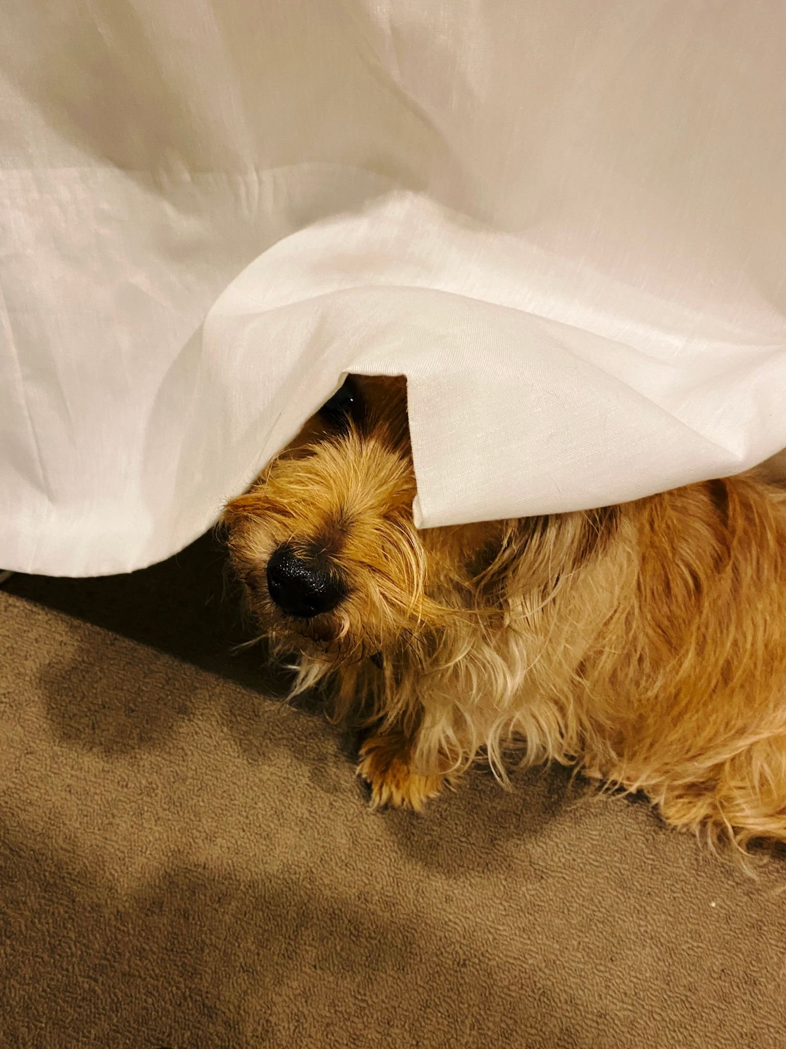 A photo of a small scruffy blonde dog sitting under a sheet white curtain, it's over his head in such a manner that it looks sort of like a nun's wimple.