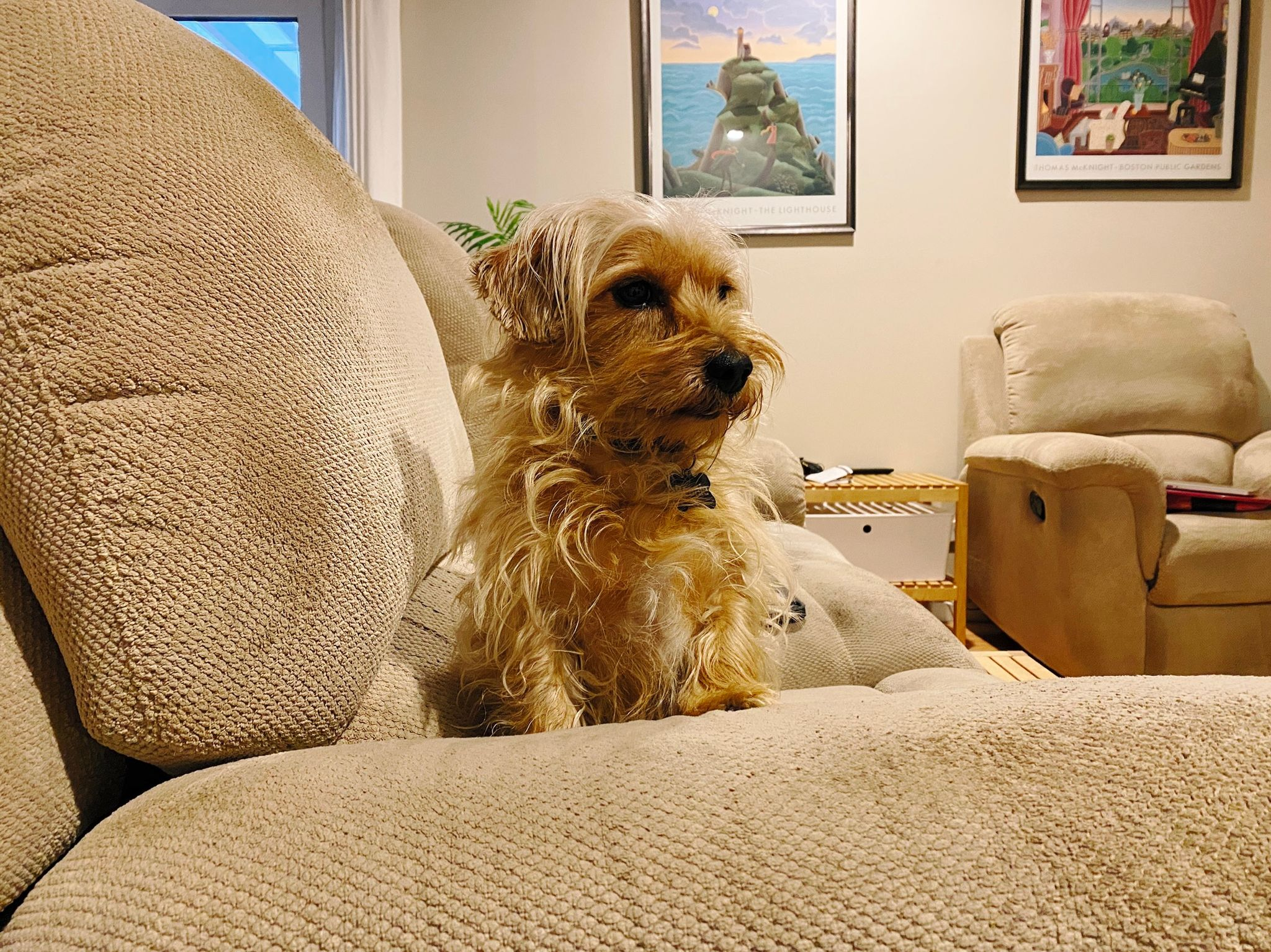 A photo of a small scruffy blonde dog sitting at the arm of a beige lounge with his front legs up on the arm.