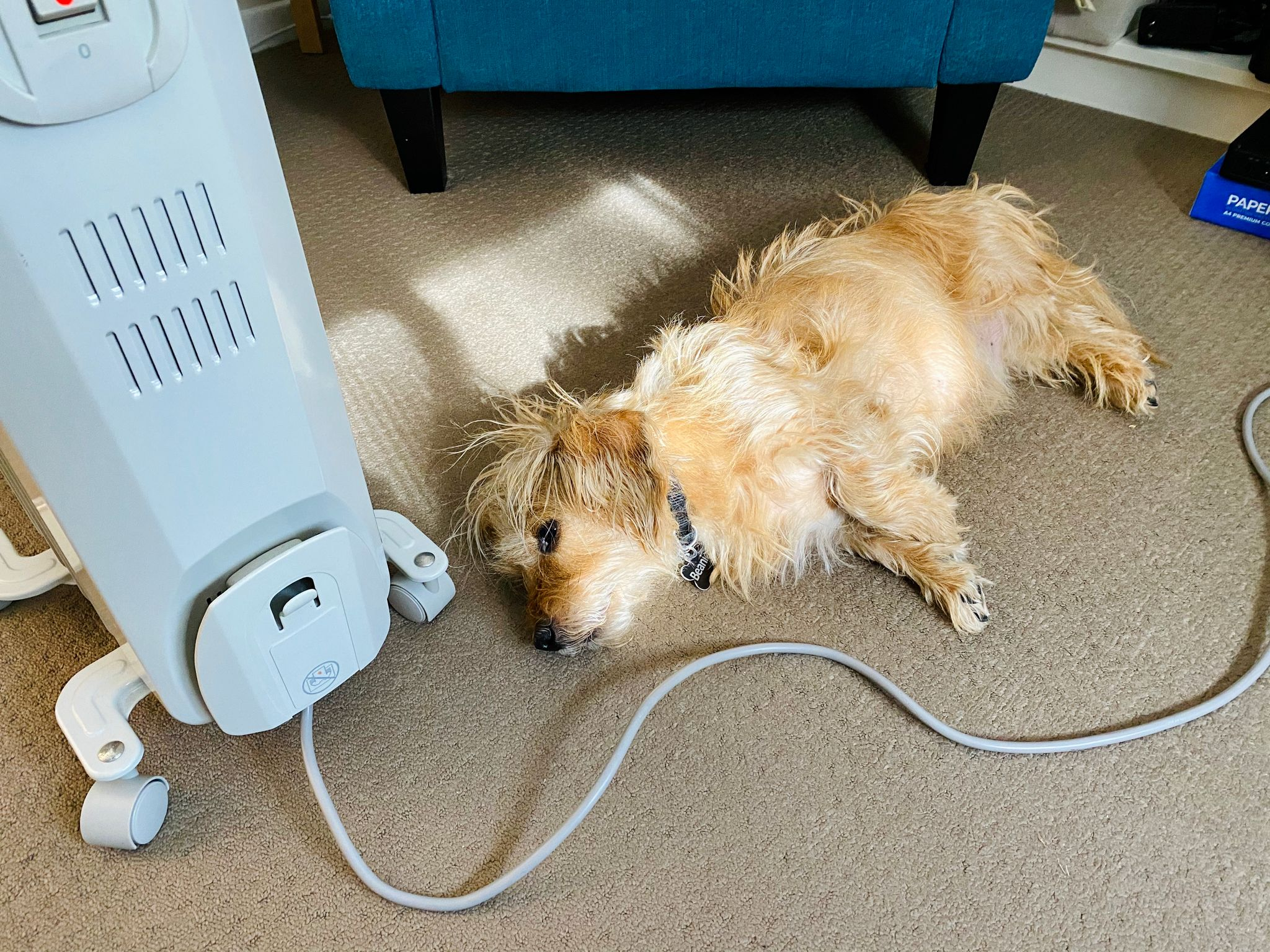 A small scruffy blonde dog lying in his side in a patch of sunlight next to an oil-filled radiator.