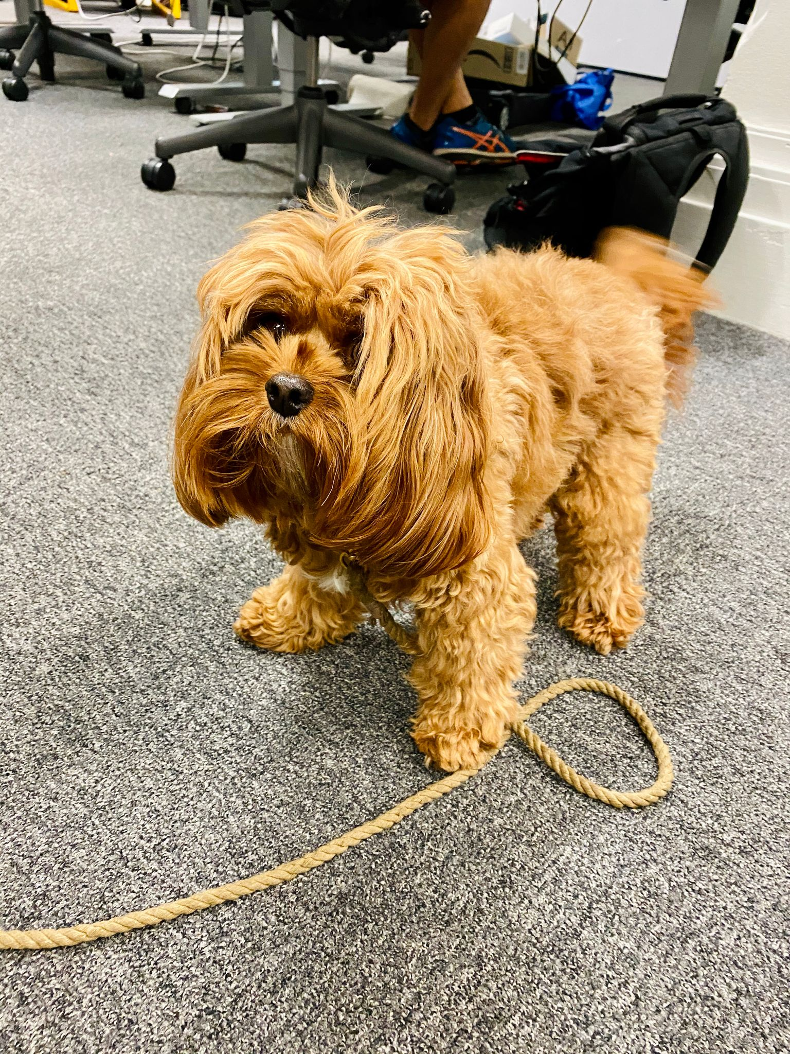A photo of a very small very fluffy brown Cavoodle standing with tail mid-wag.