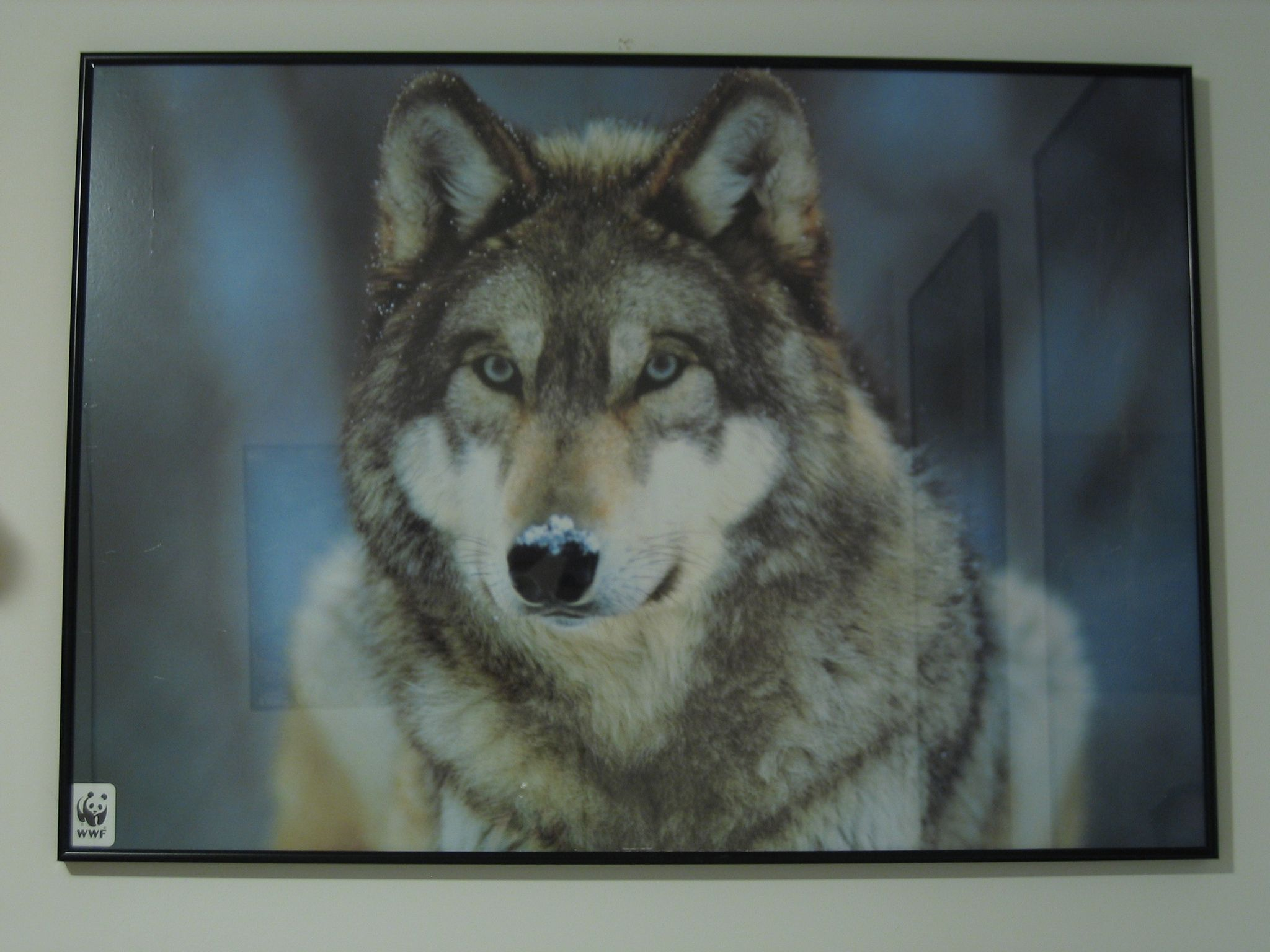 A photo of a poster of a close-up of a very fluffy wolf with a blob of snow on its nose.