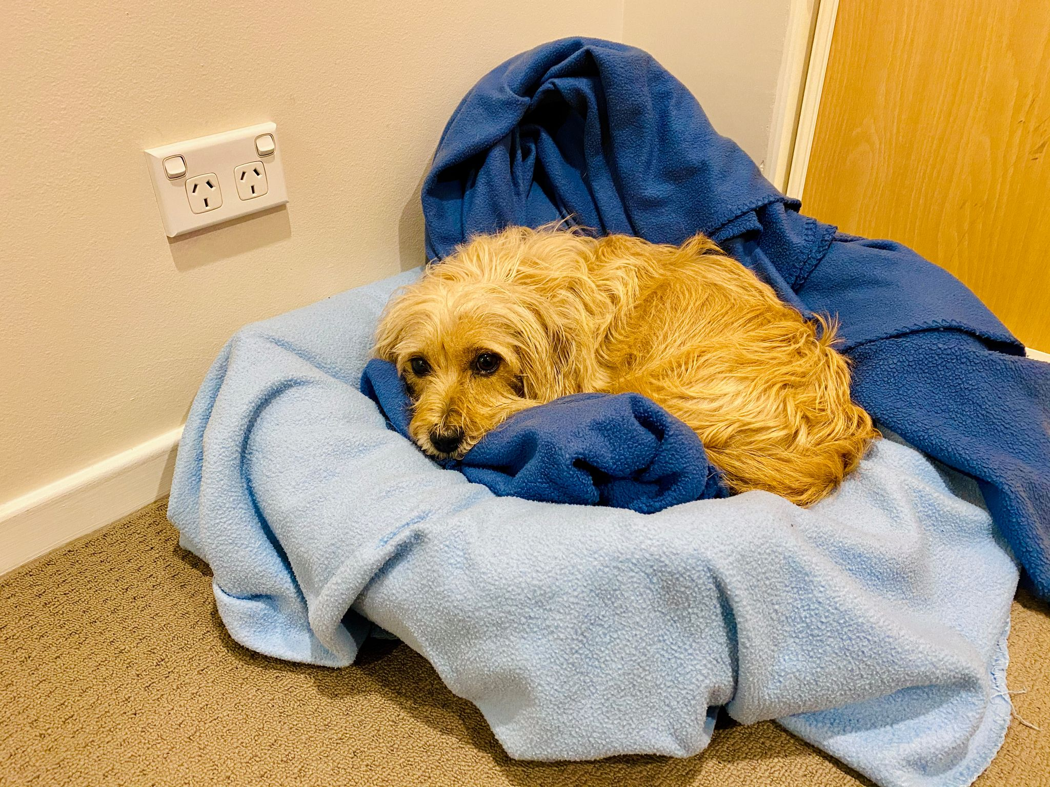 A small scruffy blonde dog lying in his dog bed, with the blanket he's lying on pointing up behind him giving the impression of the back of a throne.