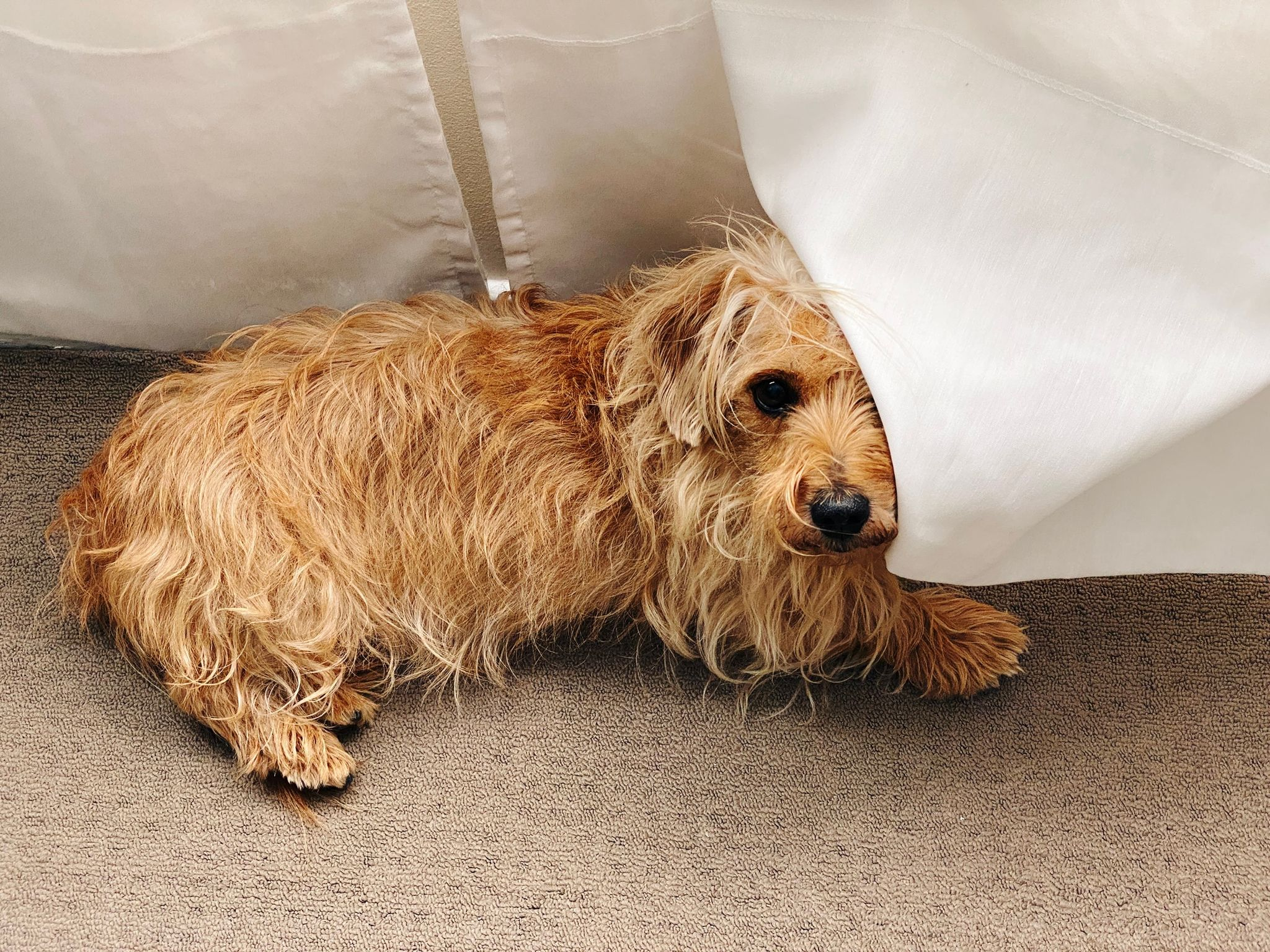 A photo of a small scruffy blonde dog lying down underneath a white curtain. The curtain is folded up over half of his face so he looks like the Phantom of the Opera.