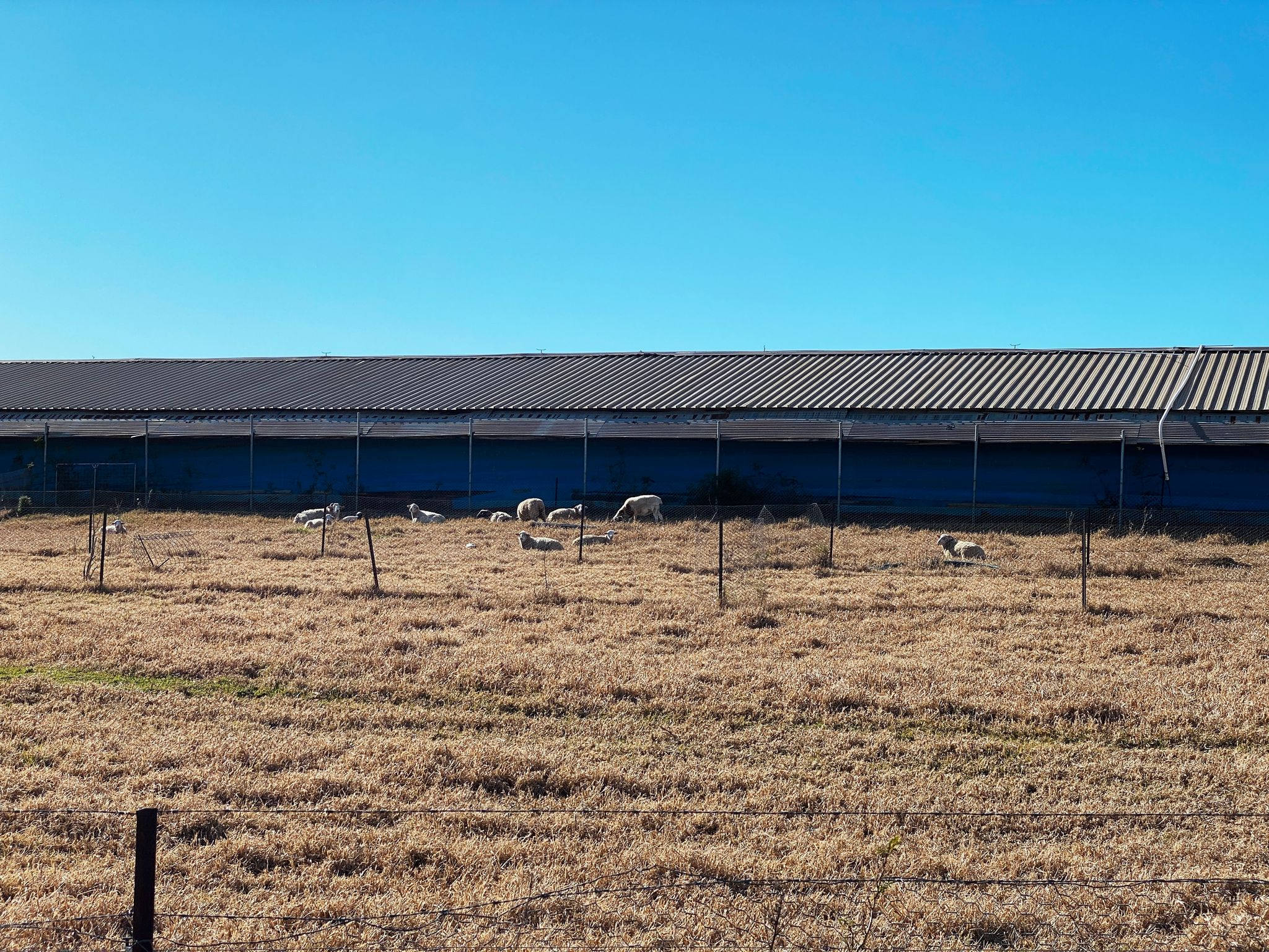 A photo of some distant sheep standing or lying in a very brown field of grass, in front of a long shed-looking structure that has a corrugated metal roof.