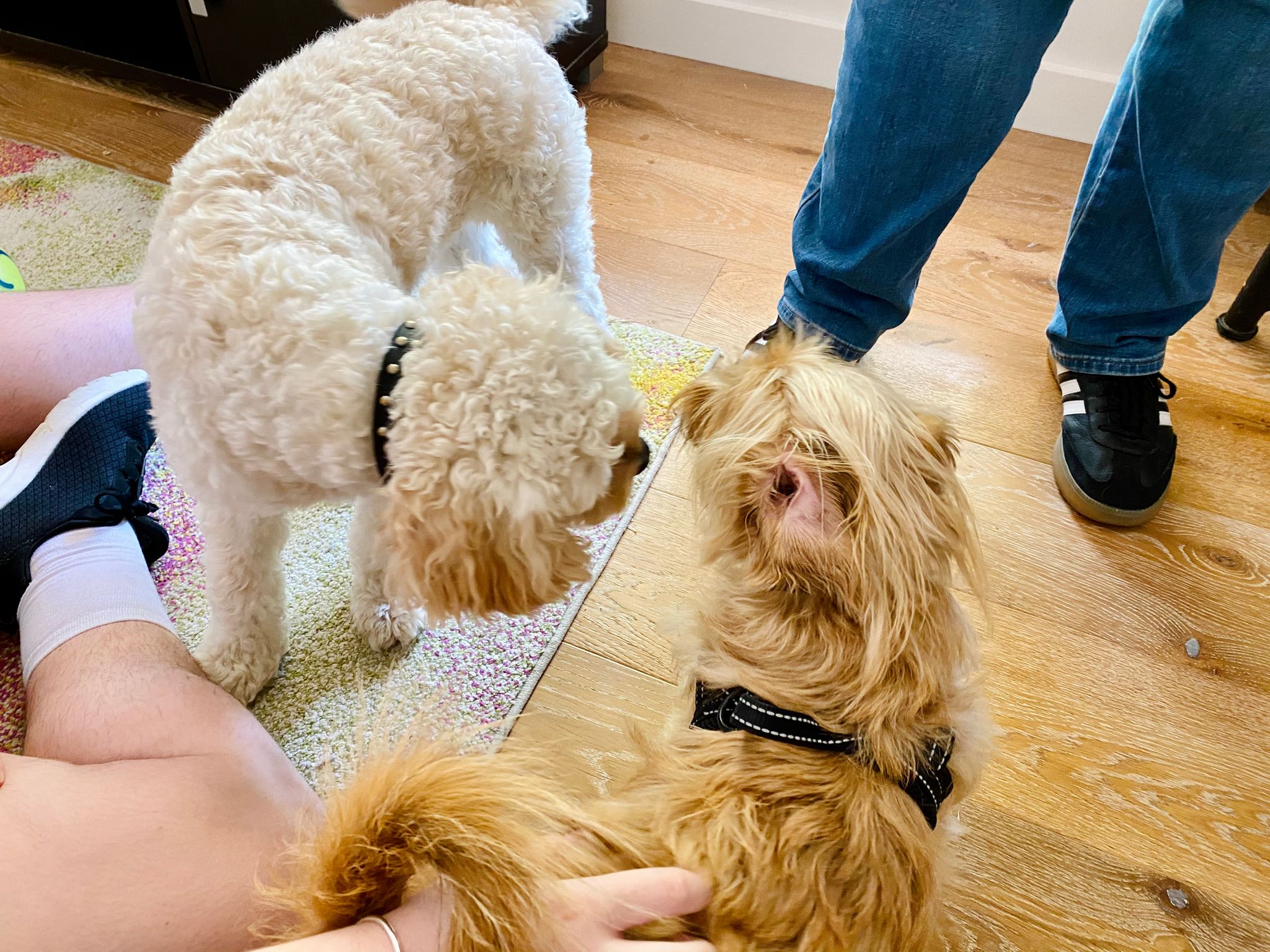 A photo of two dogs sniffing each others' faces, one is a small scruffy blonde dog and the other is a slightly larger white cavoodle.