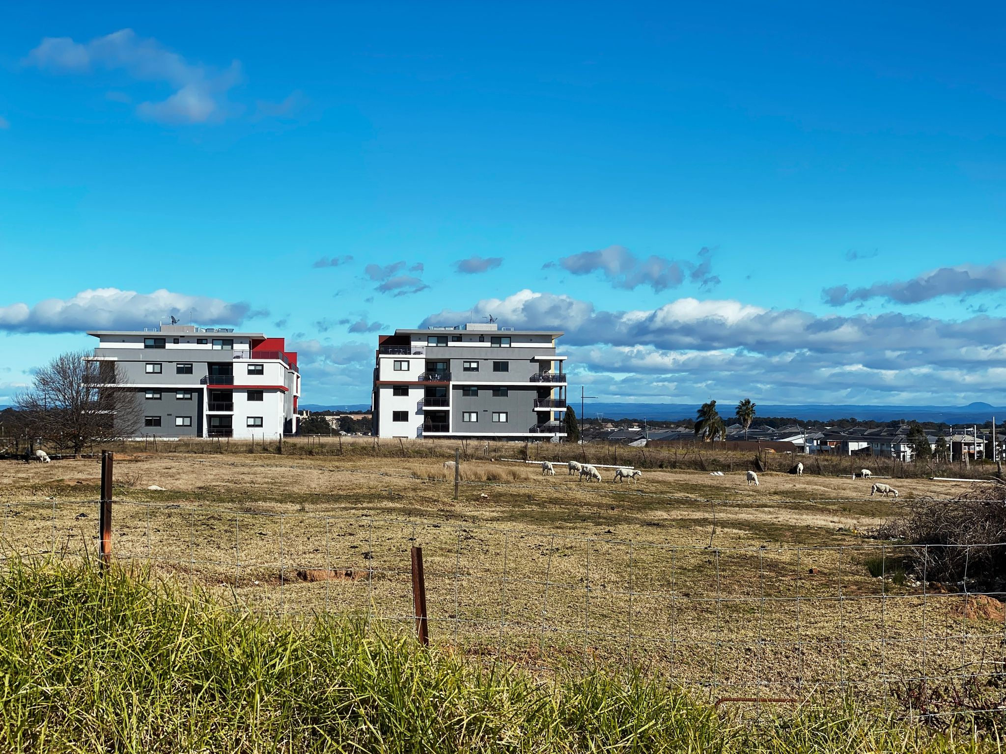 A photo of some less distant sheep standing in a field that's in front of two newly-constructed four-storey unit blocks.