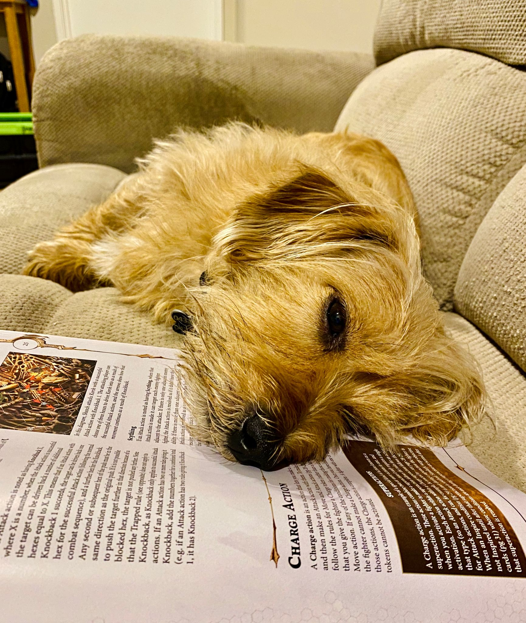 A small scruffy blonde dog lying on his side with his head entirely on top of an open paper rulebook.