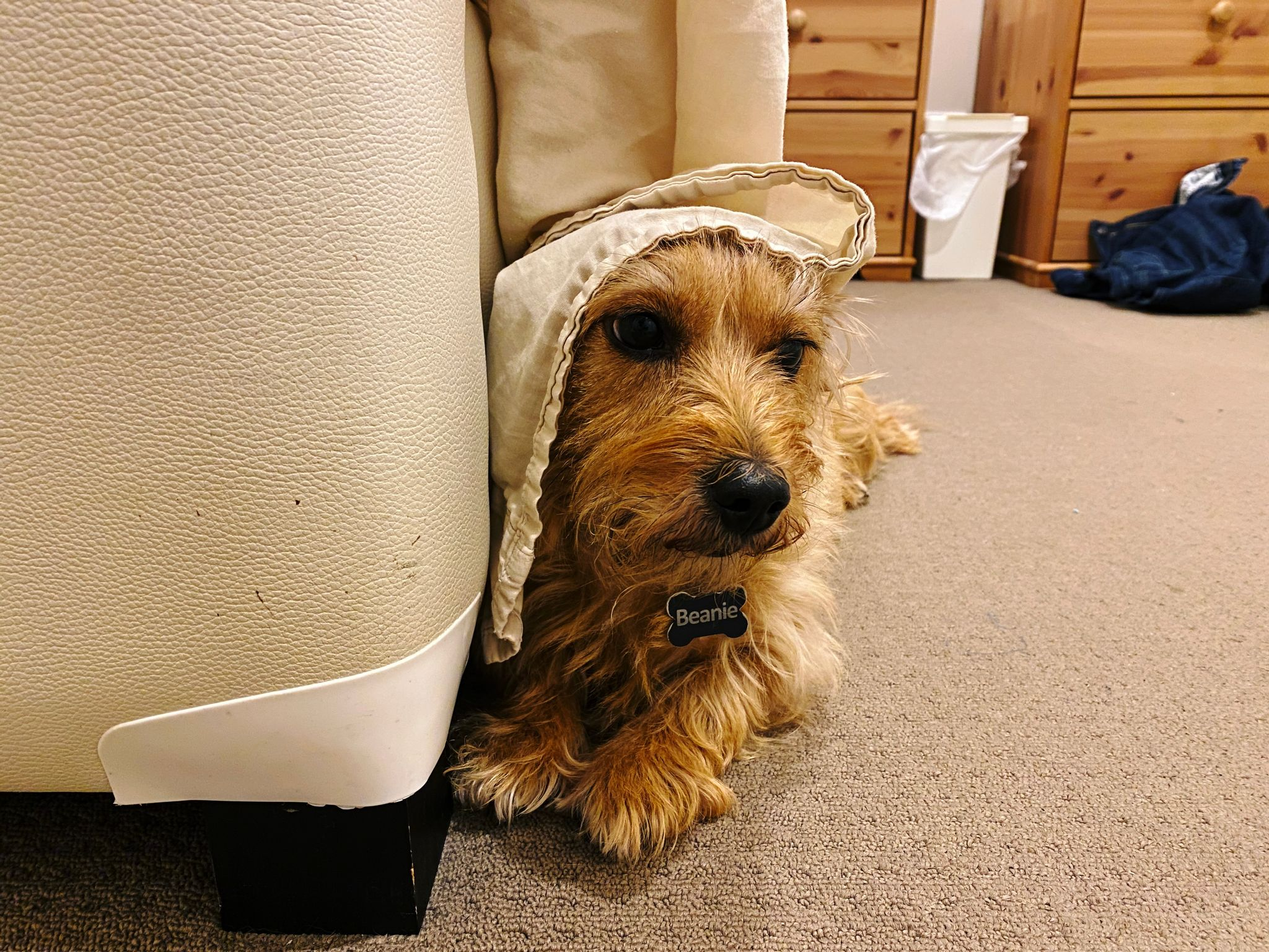 A photo of a small scruffy blonde dog lying next to a bed with his head up and a sheet draped over the top of his head like a little bonnet.