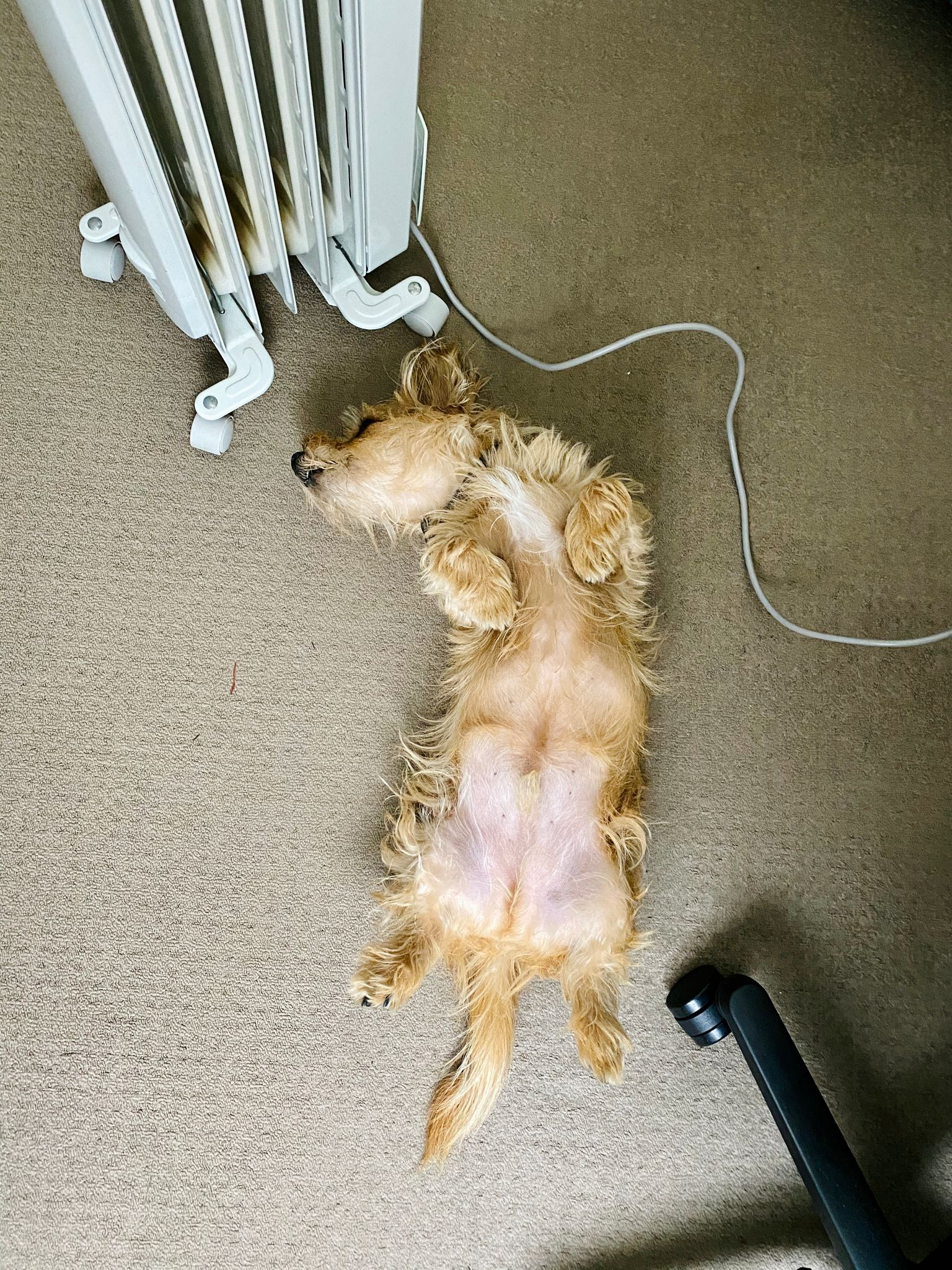 A photo of a small scruffy blonde dog lying upside-down next to an oil heater.