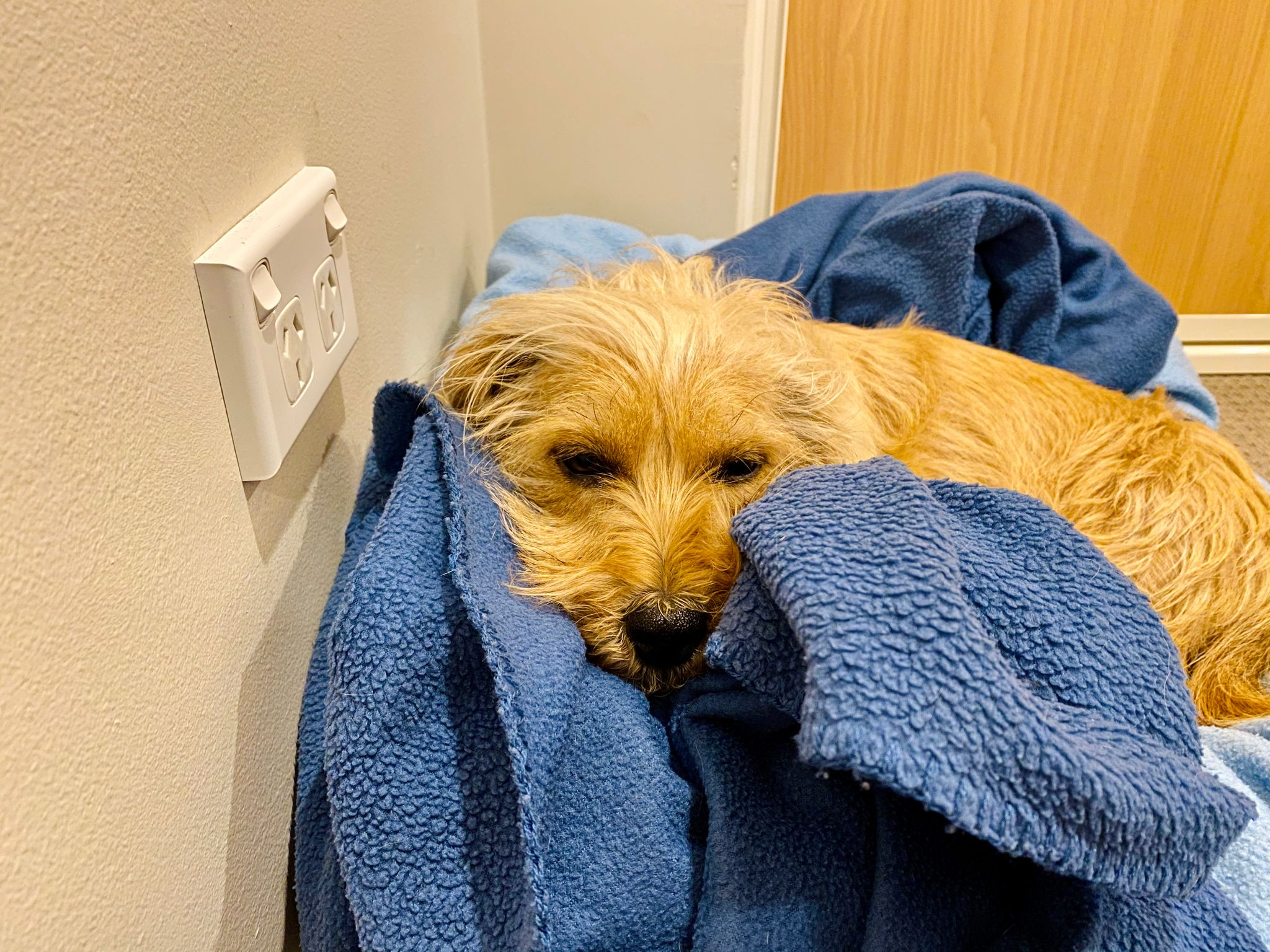A small scruffy blonde dog lying in a pile of blankets. The hair on one side of his muzzle is sitting up on part of the blanket.