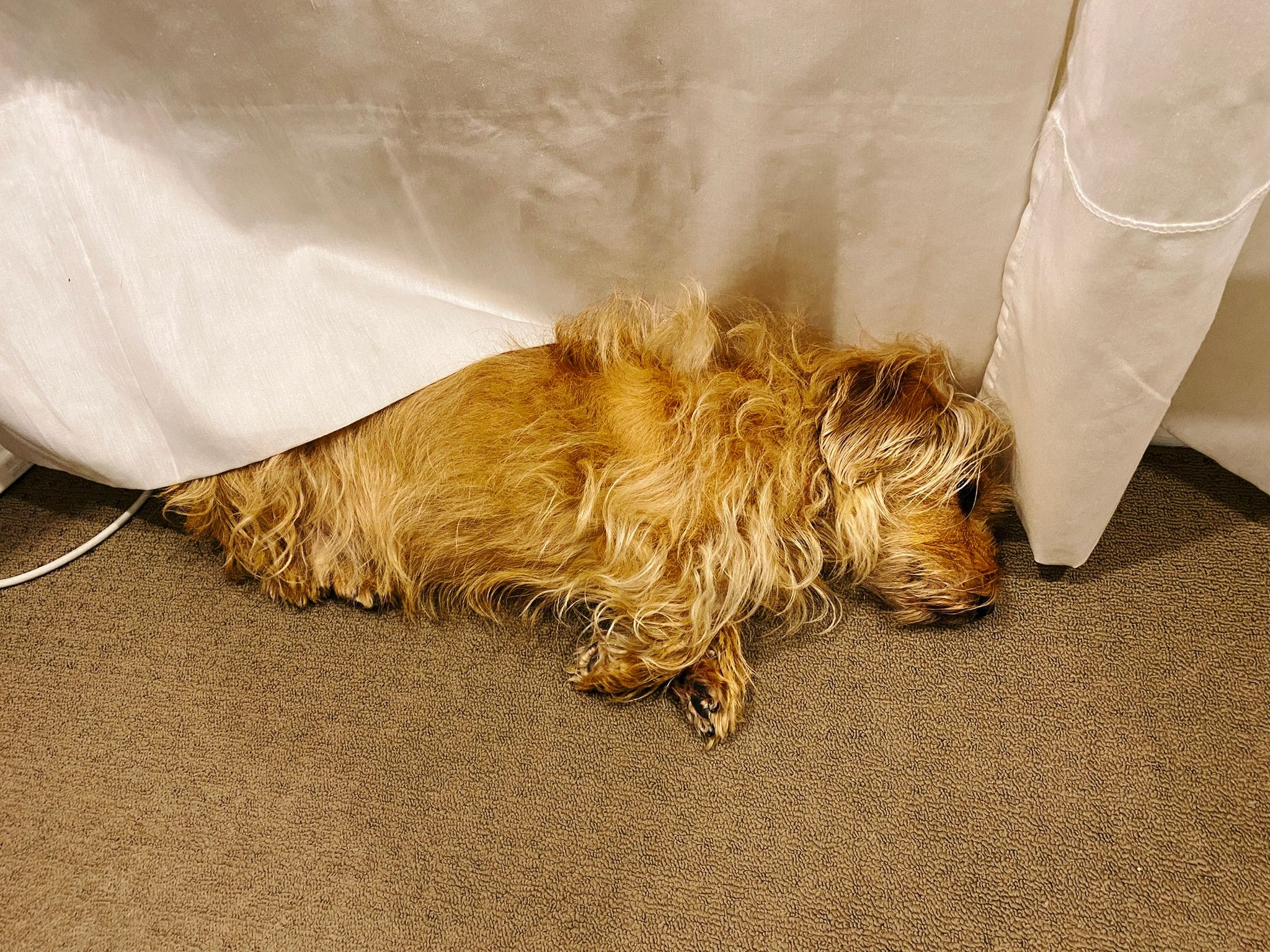 A photo of a small scruffy blonde dog lying on his side with his back half under a sheer white curtain next to the wall.