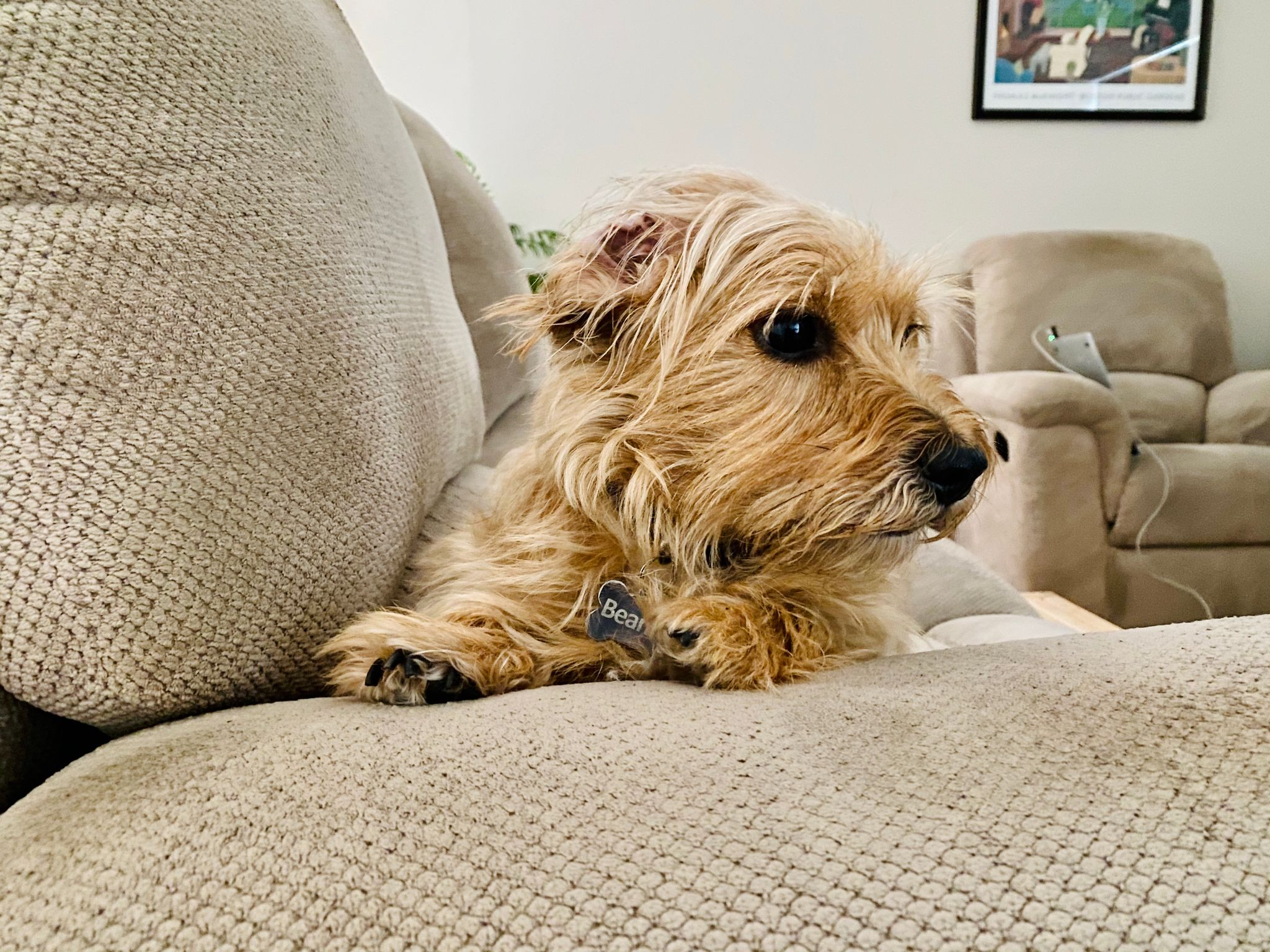 A small scruffy blonde dog with one ear inside out, sitting up with his front paws on the arm of a lounge looking away from the camera to the right where the front door is.