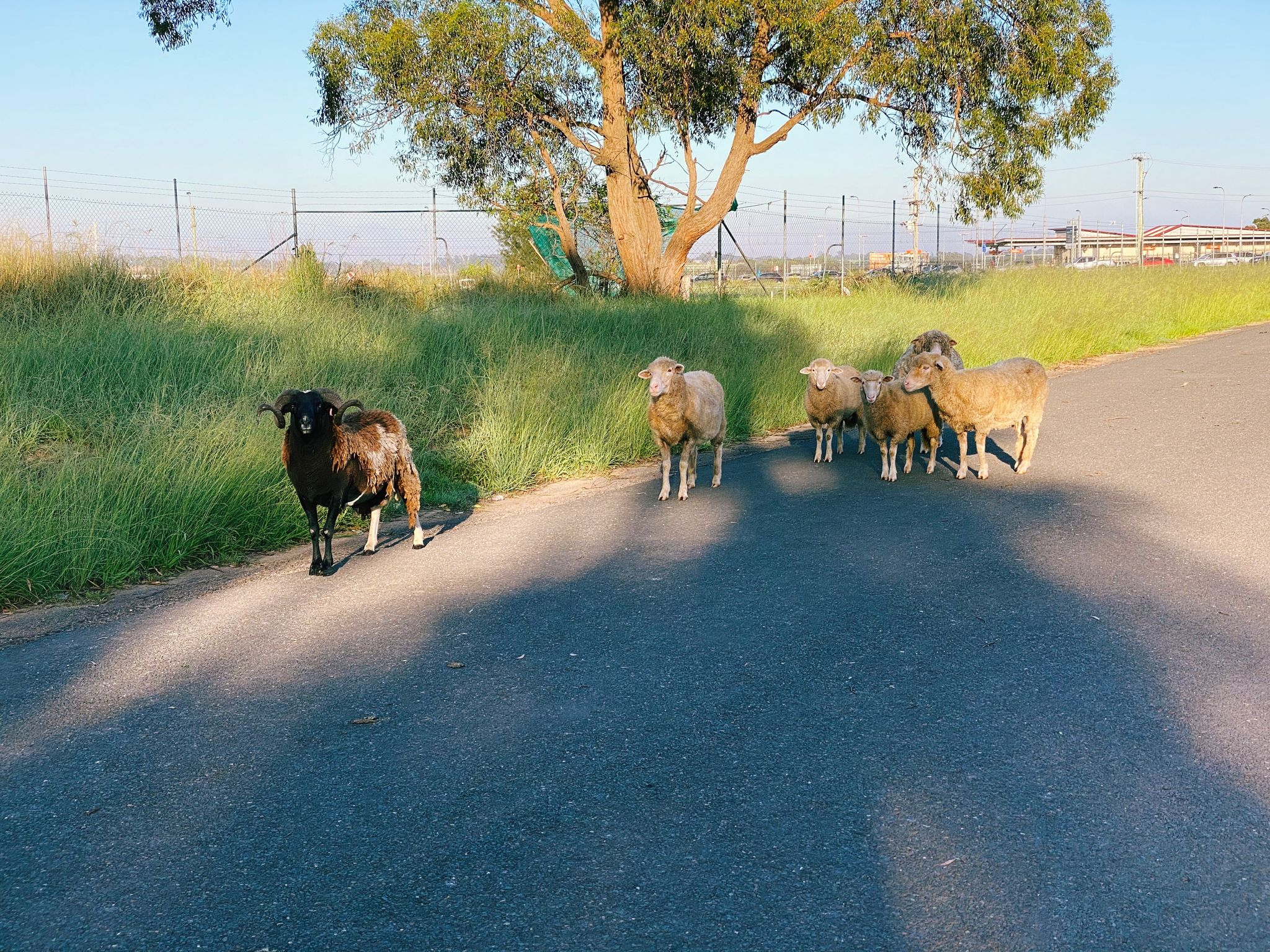 A photo of several sheep standing on a deserted road watching me carefully.