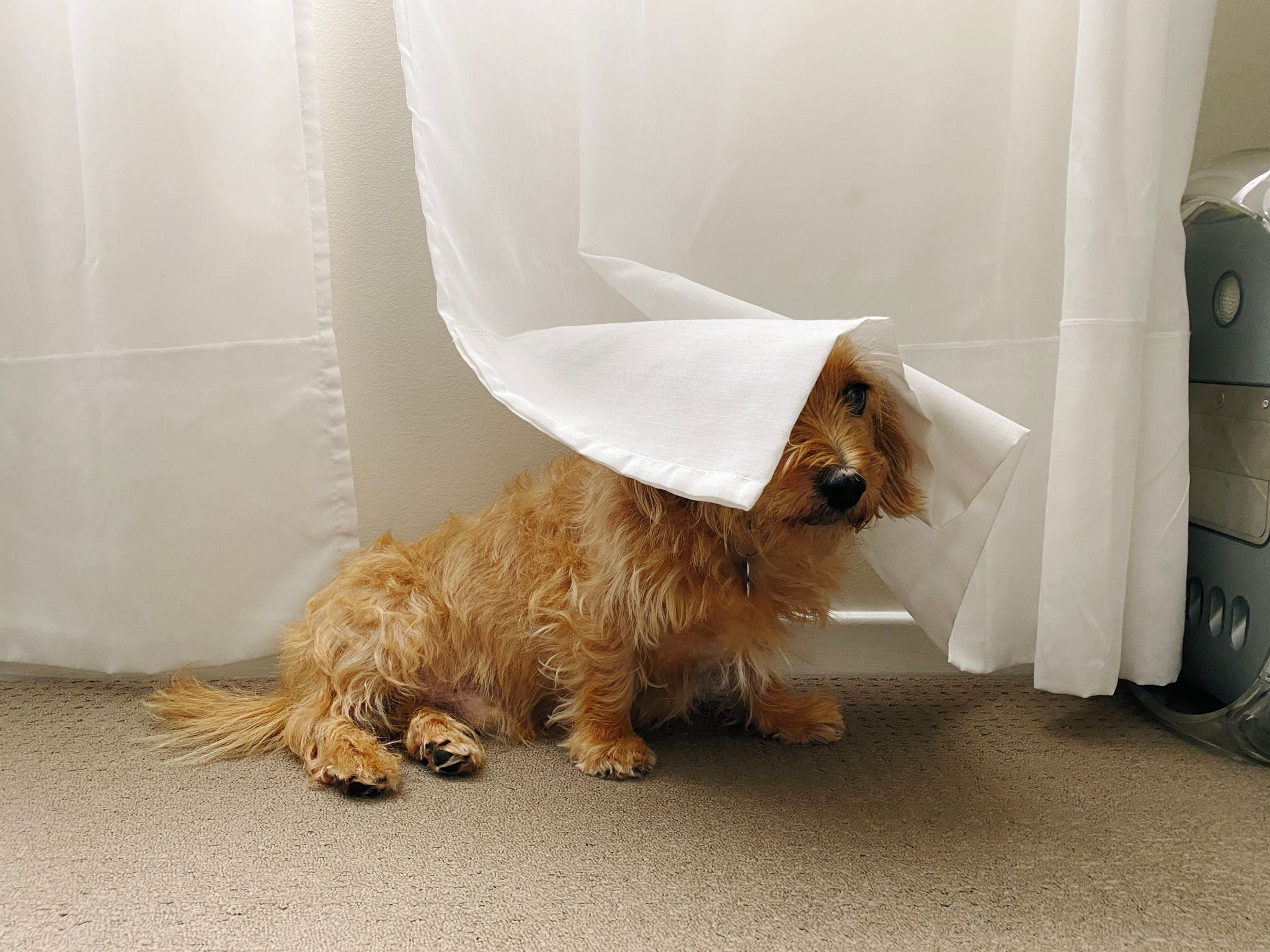 A photo of a small scruffy blonde dog sitting with his head under a sheer white curtain.