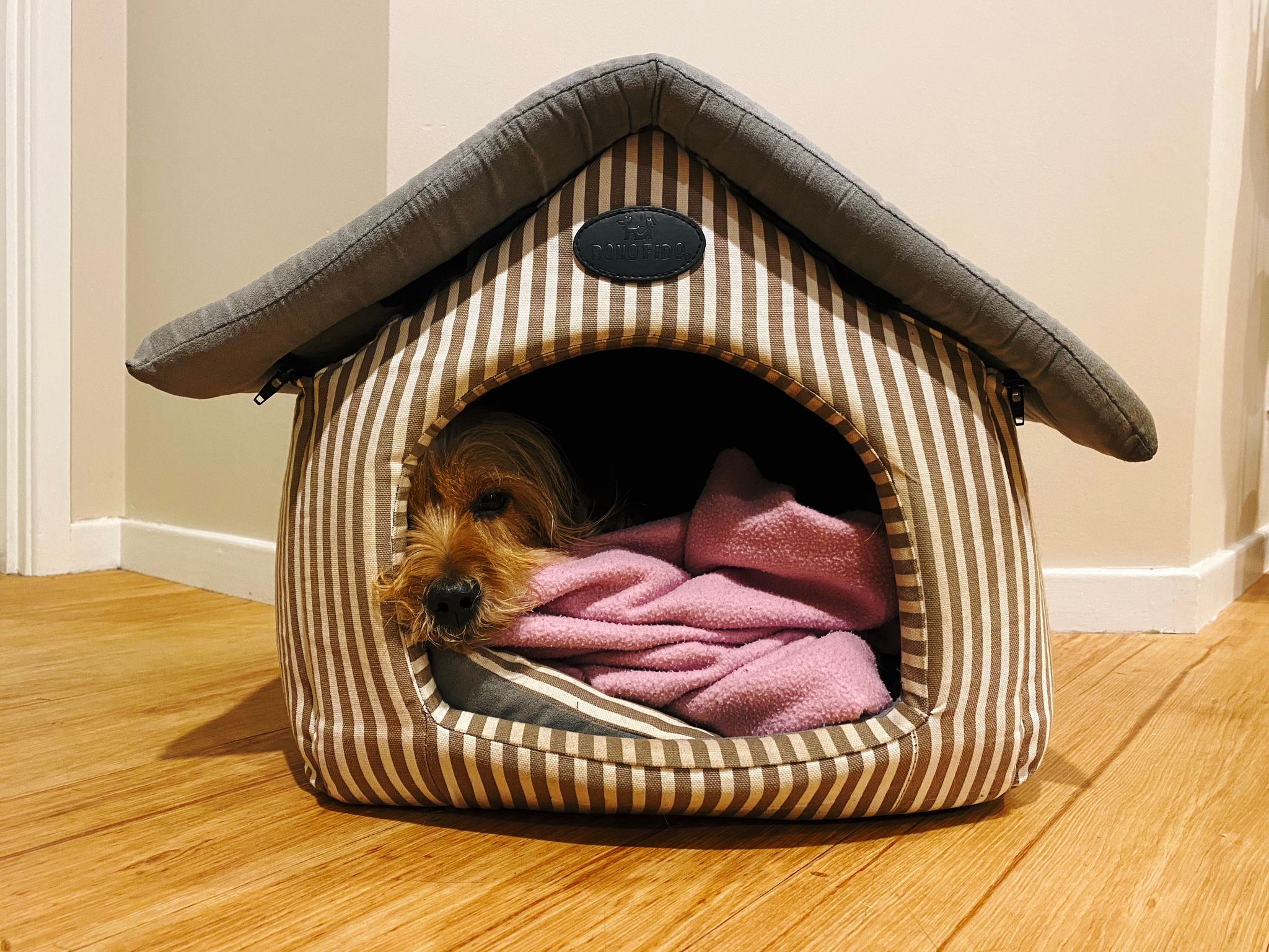A photo of a small scruffy blonde dog lying half asleep on a pile of blanket inside a dog house that's made from fabric.