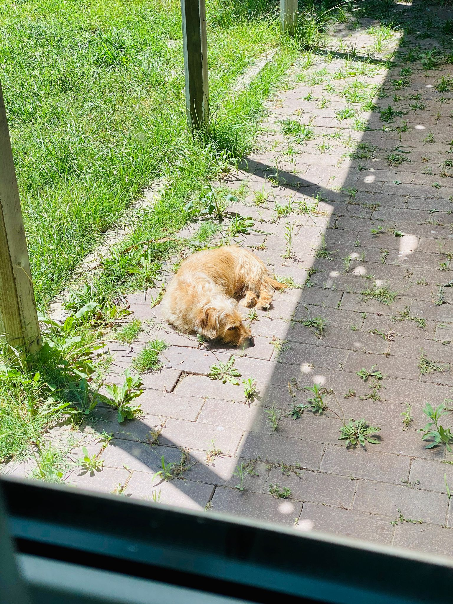 A small scruffy blonde dog lying on the brown bricks that are the ground under our pergola, in the direct sun.