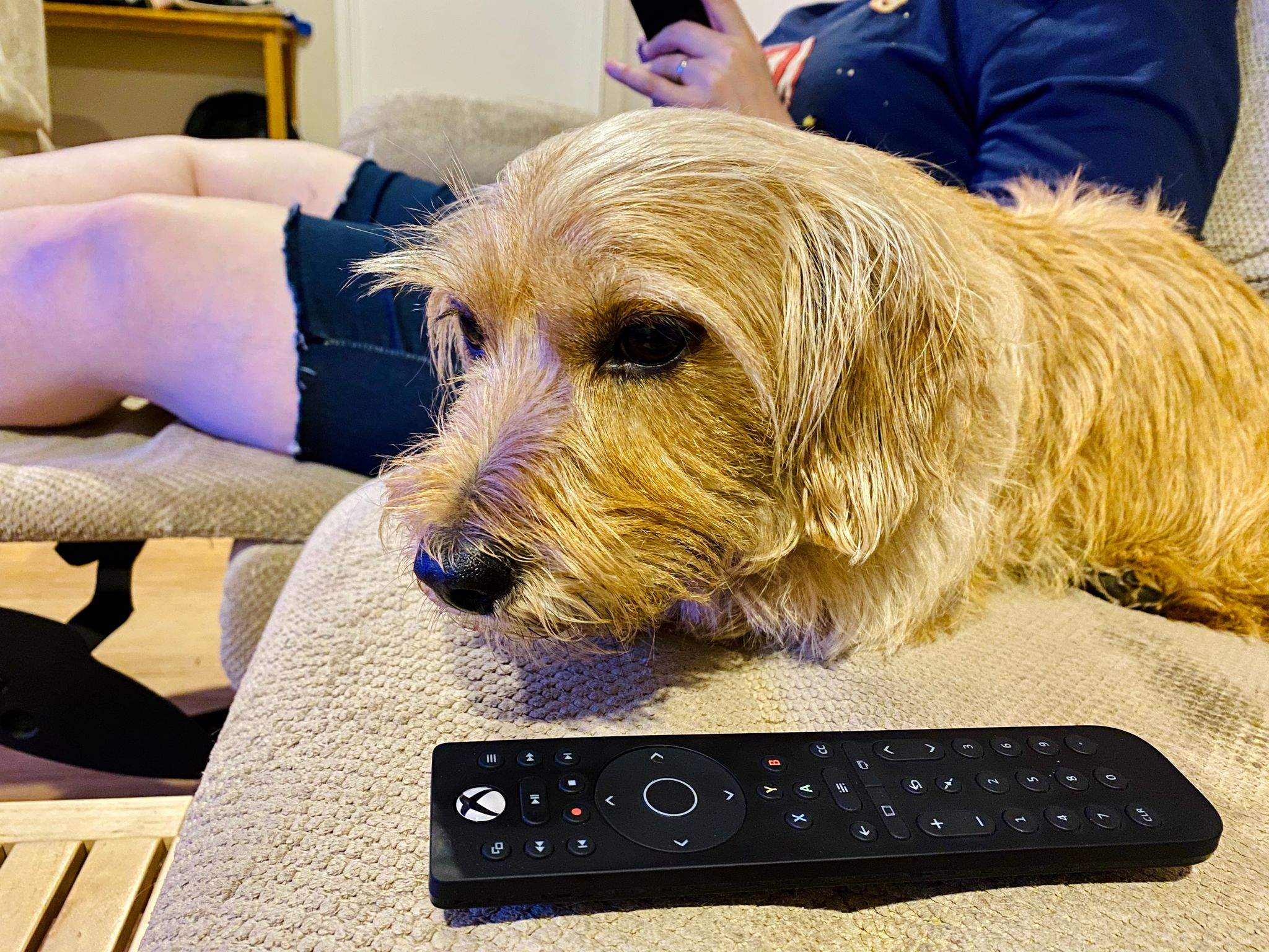 A photo of a small scruffy blonde dog lying next to an Xbox One media remote with his head down looking vaguely guilty.