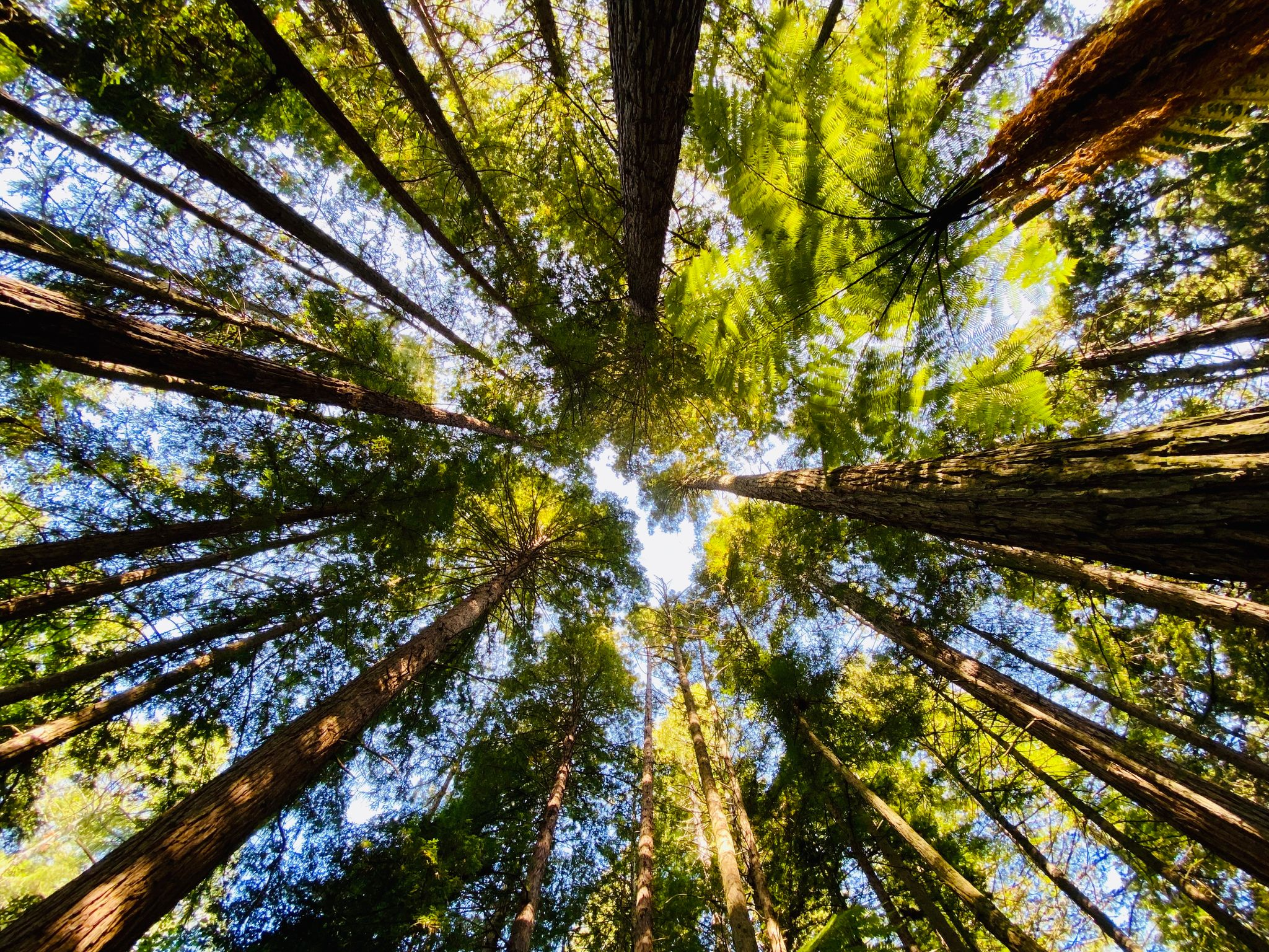A photo looking directly up with a bunch of towering redwood trees all around.