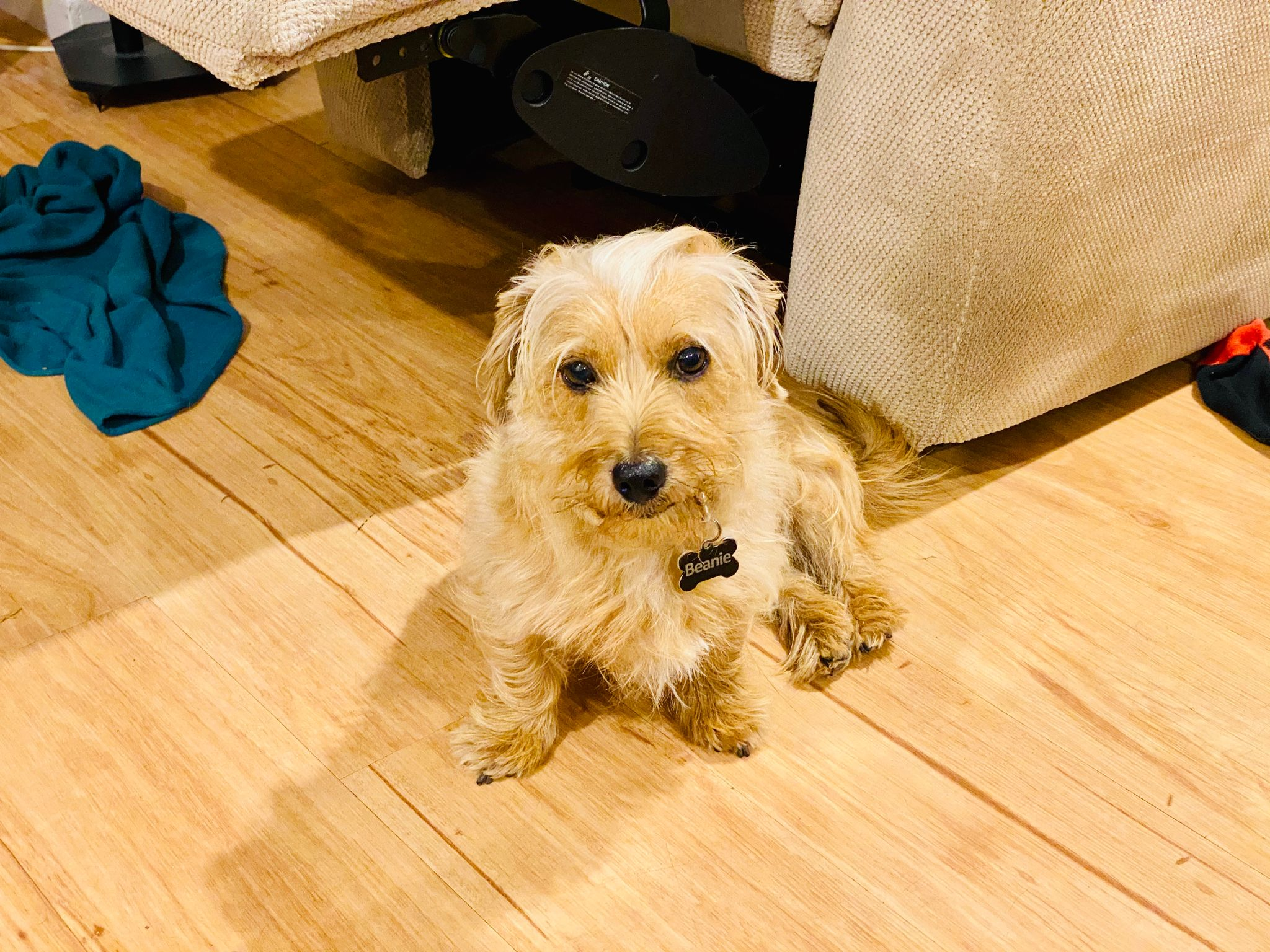 A small blonde scruffy dog sitting in the floor, his hind legs both on his right.