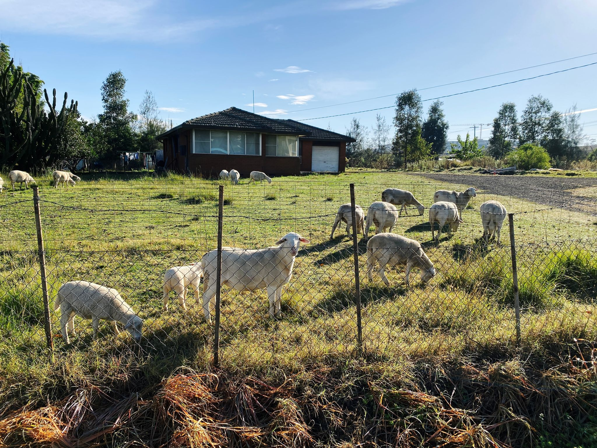 A photo of a bunch of sheep and a few lambs grazing on the grass in the front yard of an old house that I'm assuming is abandoned, from the look of it.