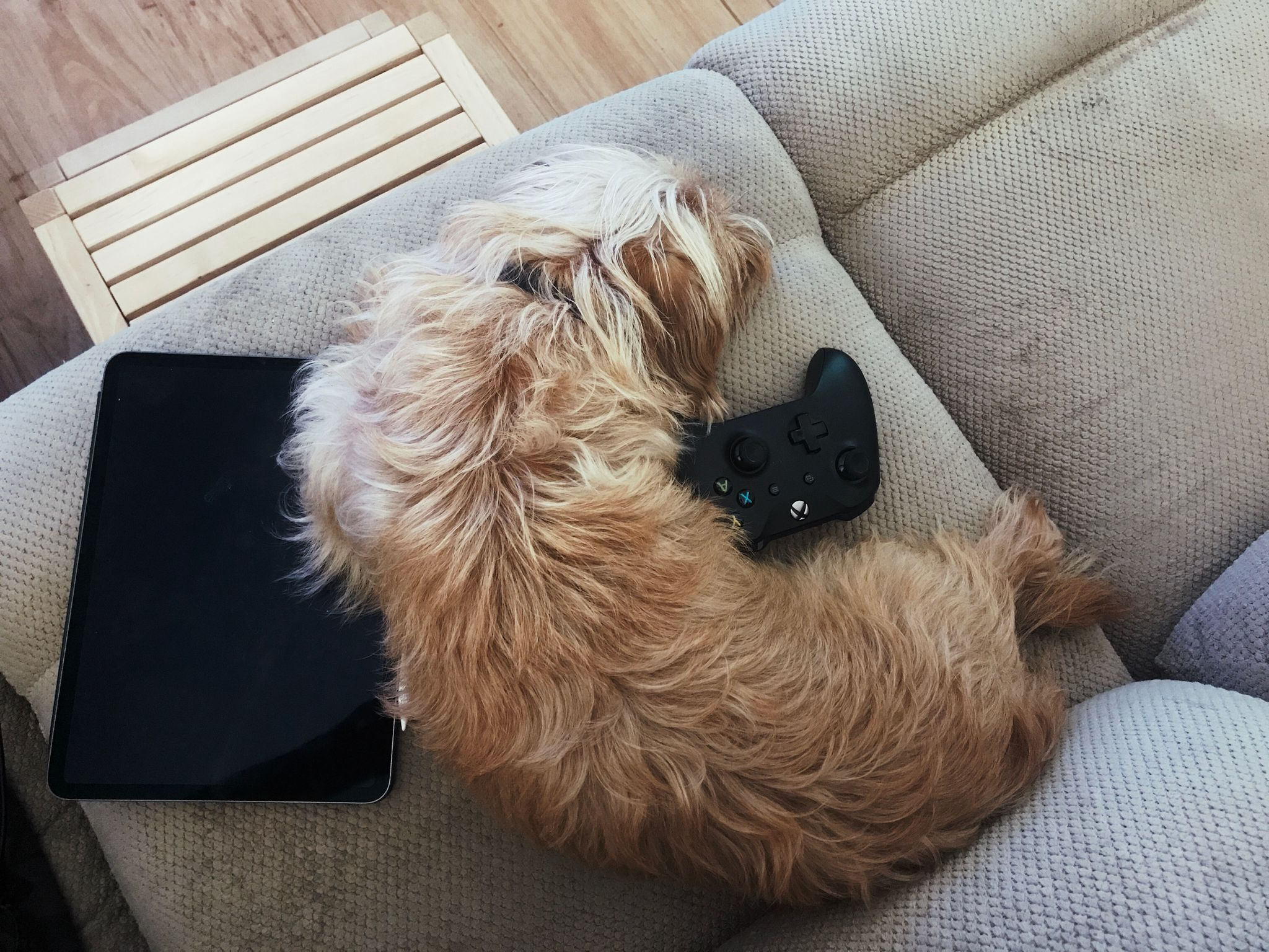 A small scruffy blonde dog lying on a lounge, partially on an iPad and partially on an Xbox controller.