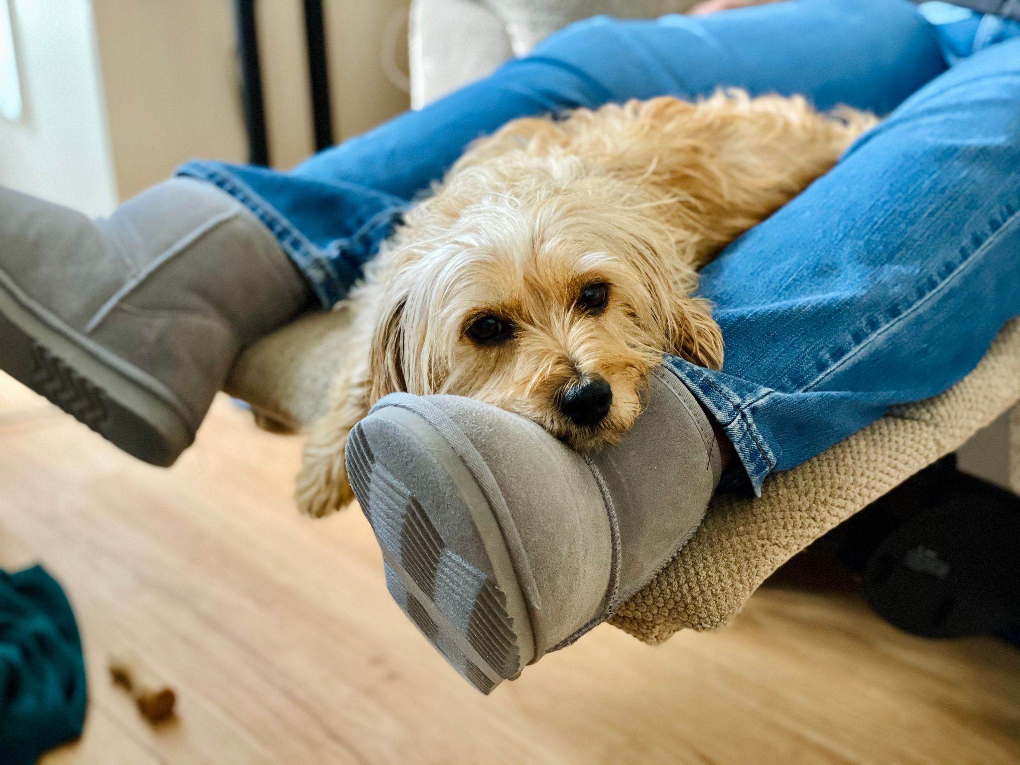 A photo of a small scruffy blonde dog with his head draped over a person's foot. The person is sitting on a reclining chair with her feet up, and one of the dog's feet is hanging off the end.