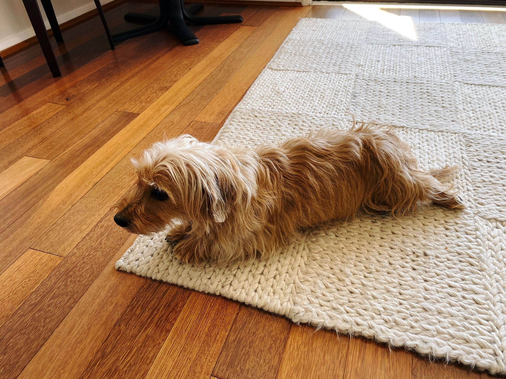 A photo of a scruffy blonde dog lying down on a white wool rug.