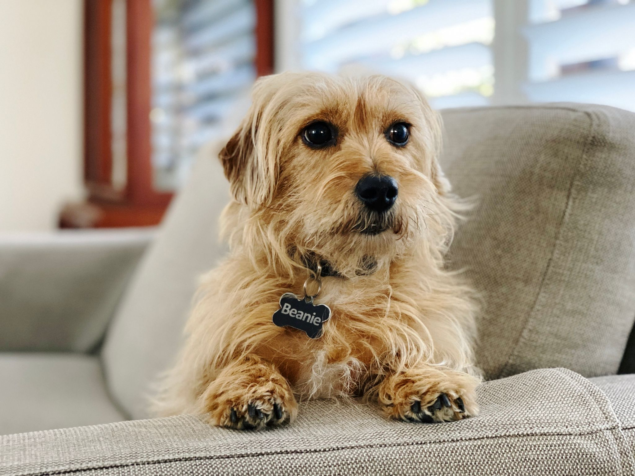 A photo of a small scruffy blonde dog sitting up with his front paws on the arm of a lounge.