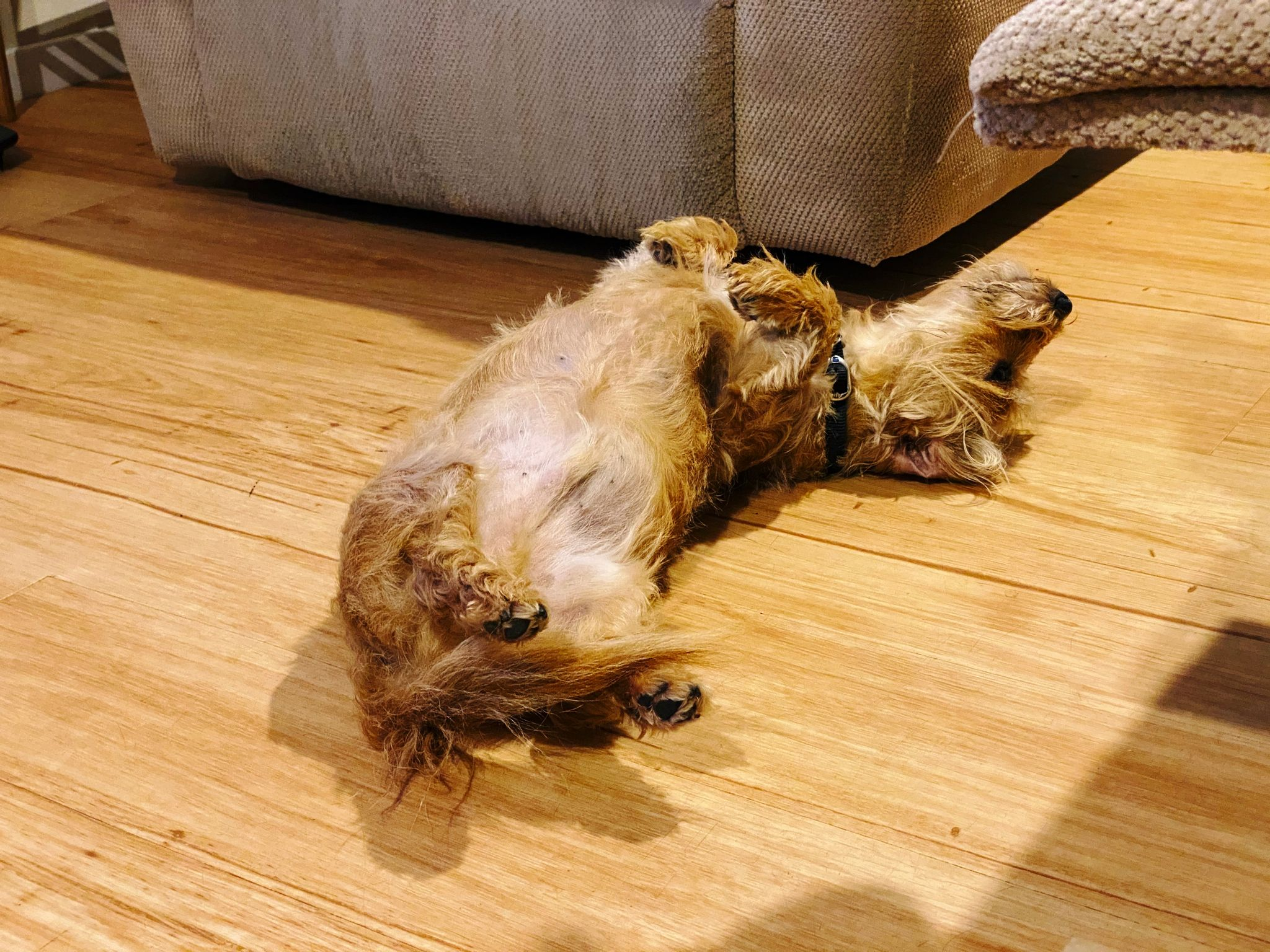 A photo of a small scruffy blonde dog lying on his back with his legs in the air.