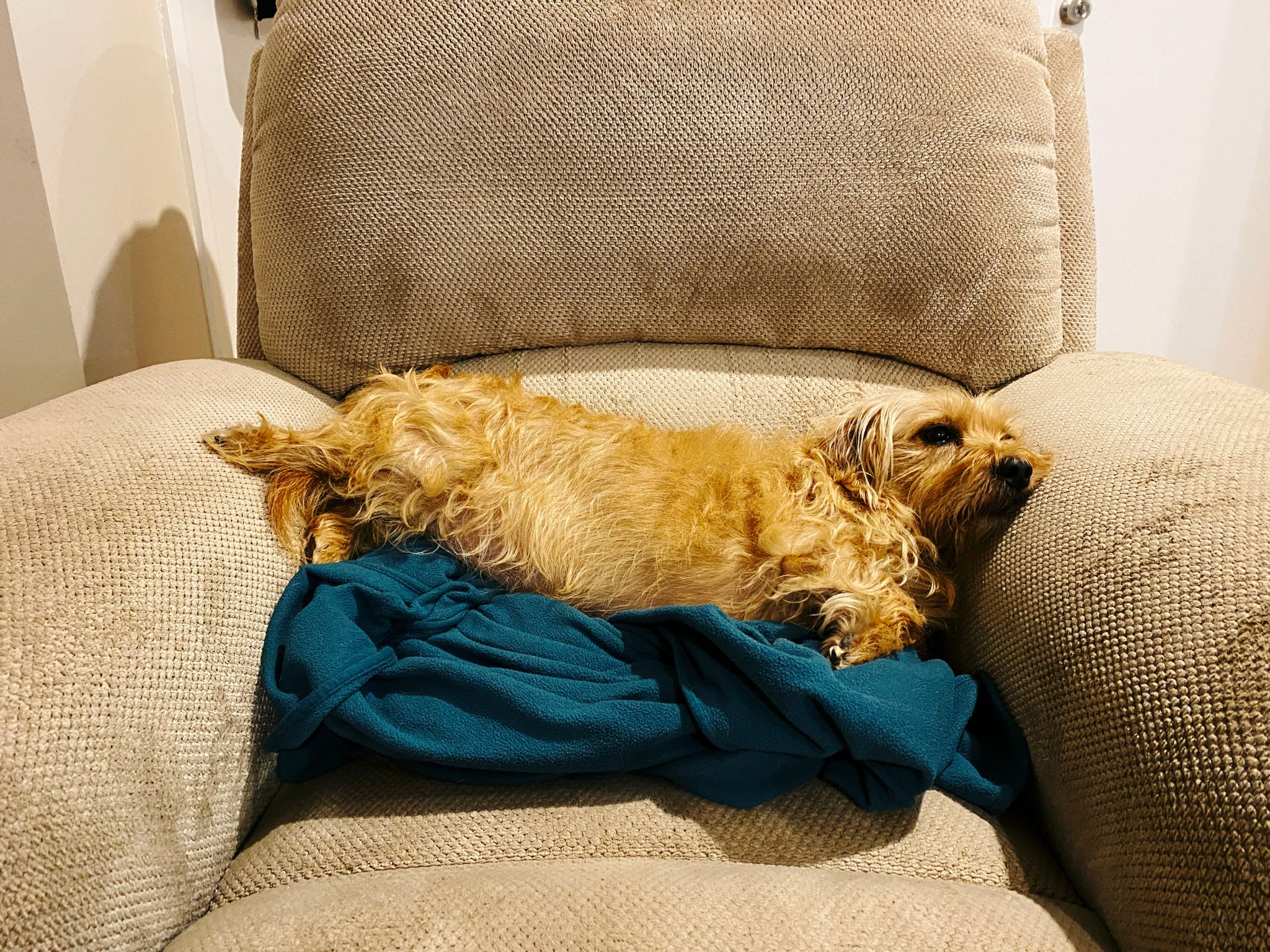 A photo of a small scruffy blonde dog lying on a green blanket sideways on a single-seater lounge. His face is mushed against one arm and his back legs are propped up on the other arm.