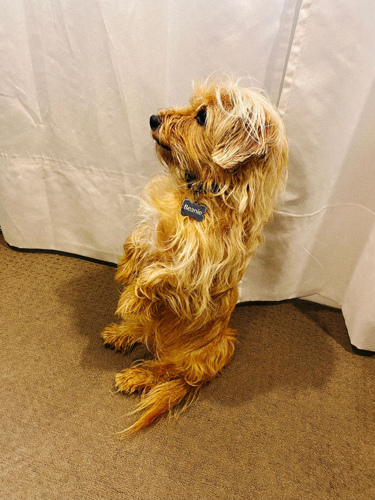 A photo of a small scruffy blonde dog sitting up on his haunches.