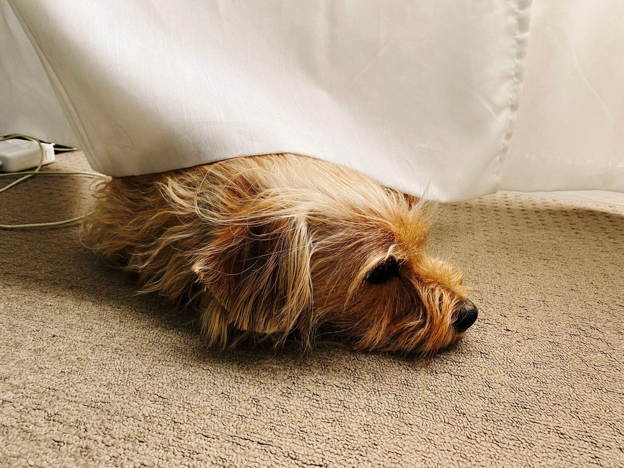 A photo of a small scruffy blonde log lying half-underneath a sheer white curtain
